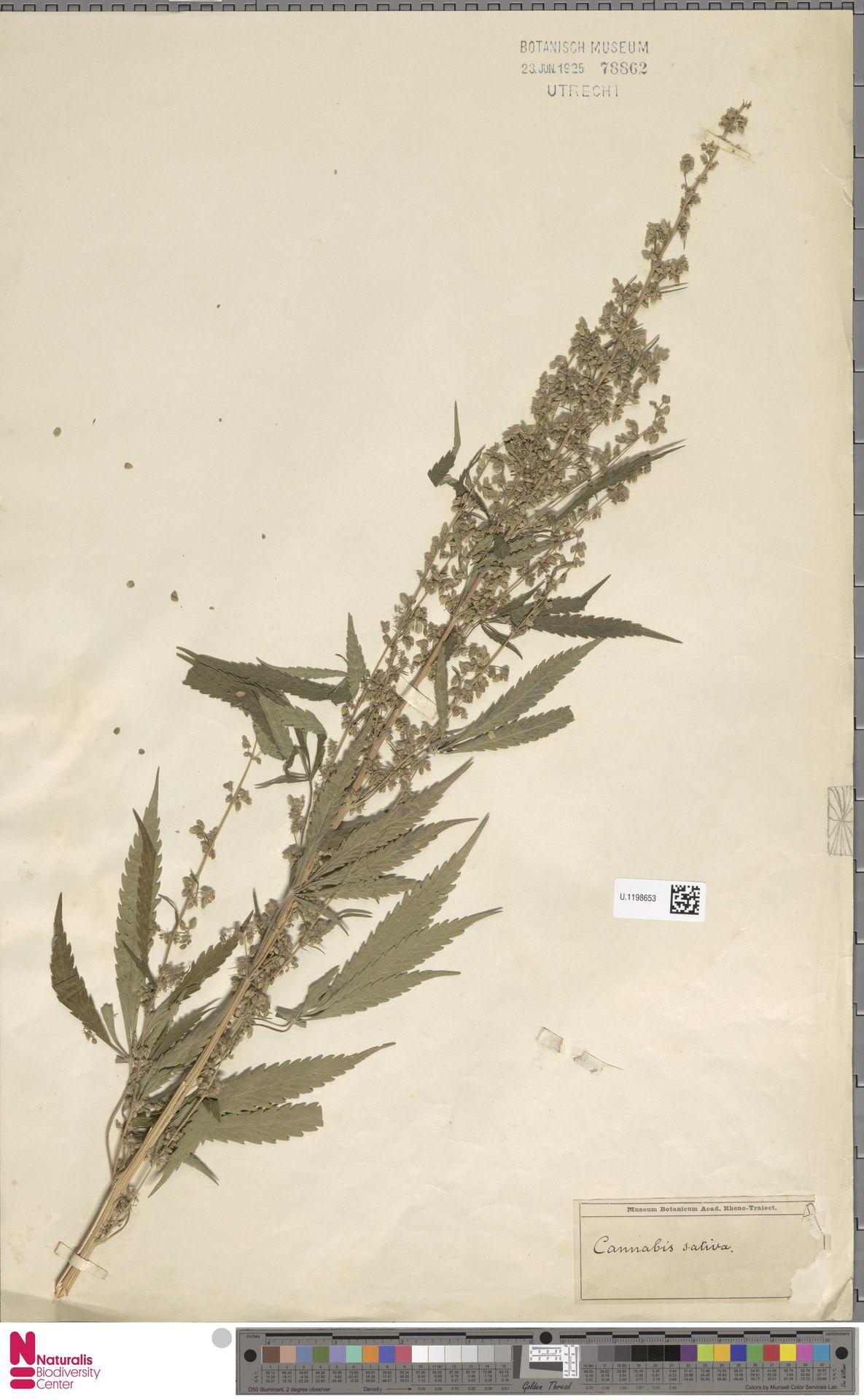 U.1198653 | Cannabis sativa L.