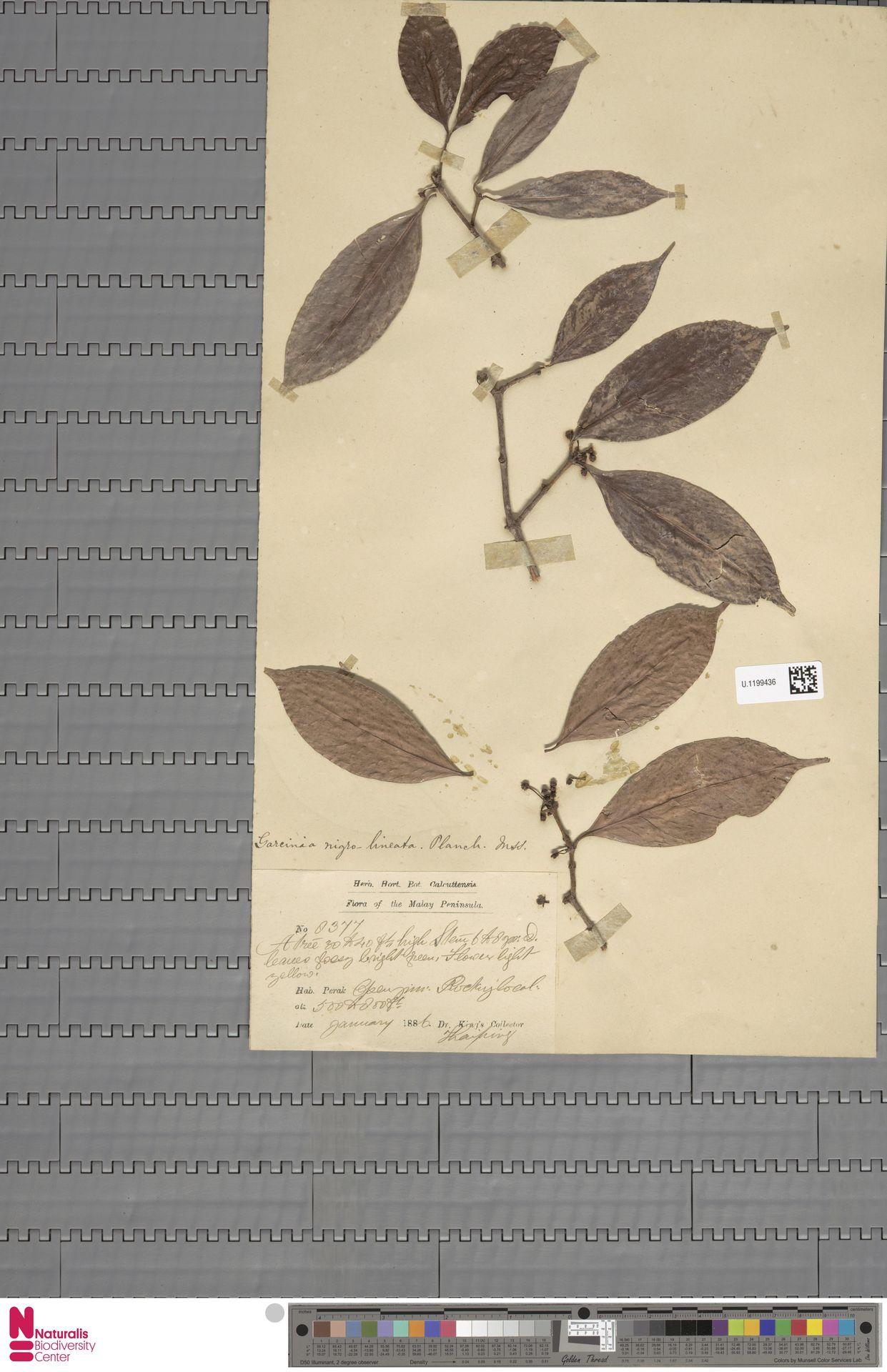 U.1199436   Garcinia nigro-lineata Planch. ex T.Anderson