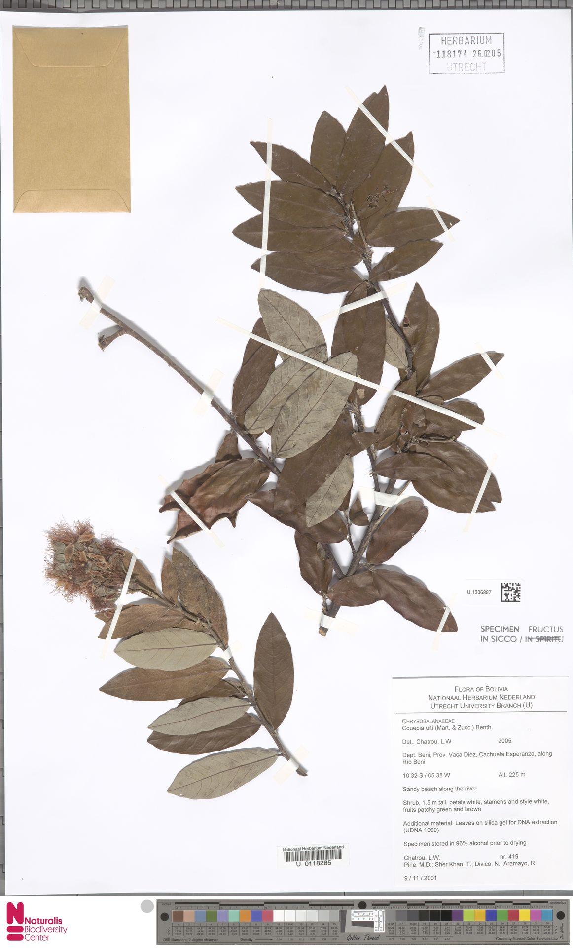 U.1206887 | Couepia uiti (Mart. & Zucc.) Benth.