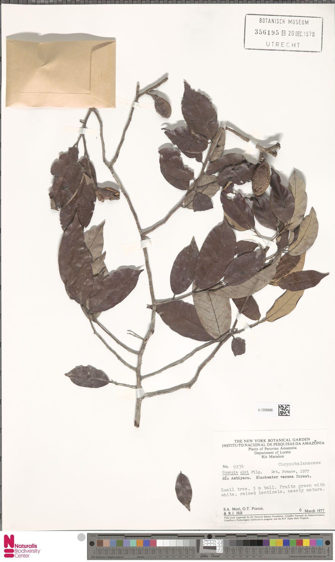 U.1206888 | Couepia ulei Pilg.