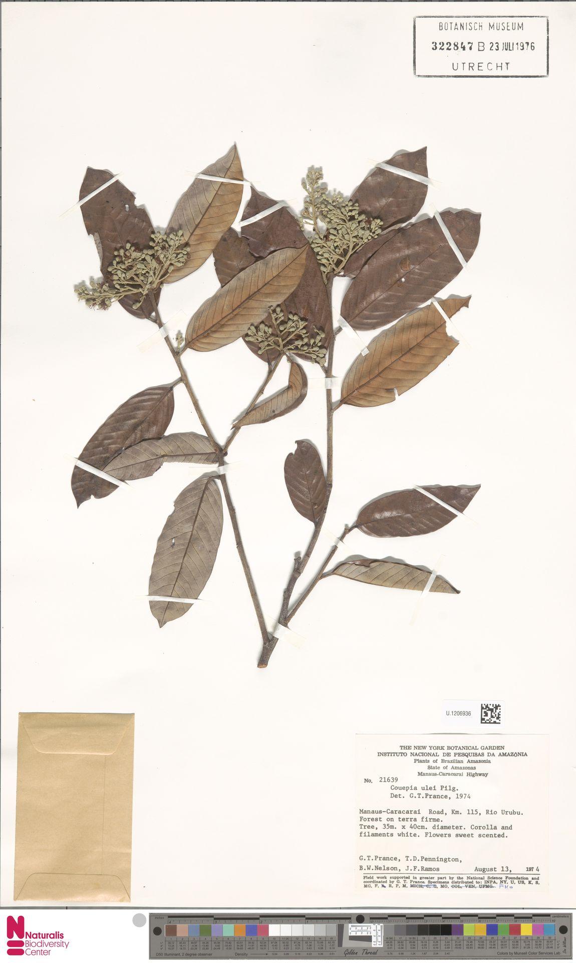 U.1206936 | Couepia ulei Pilg.