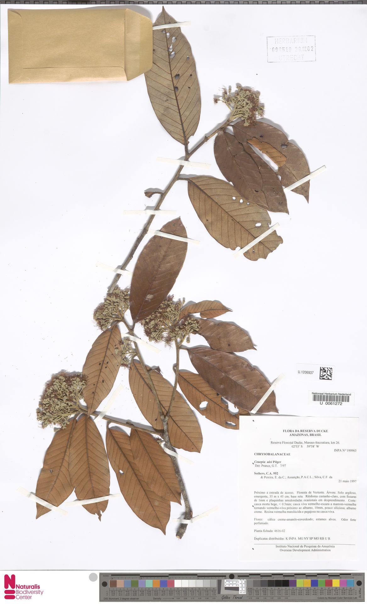 U.1206937 | Couepia ulei Pilg.