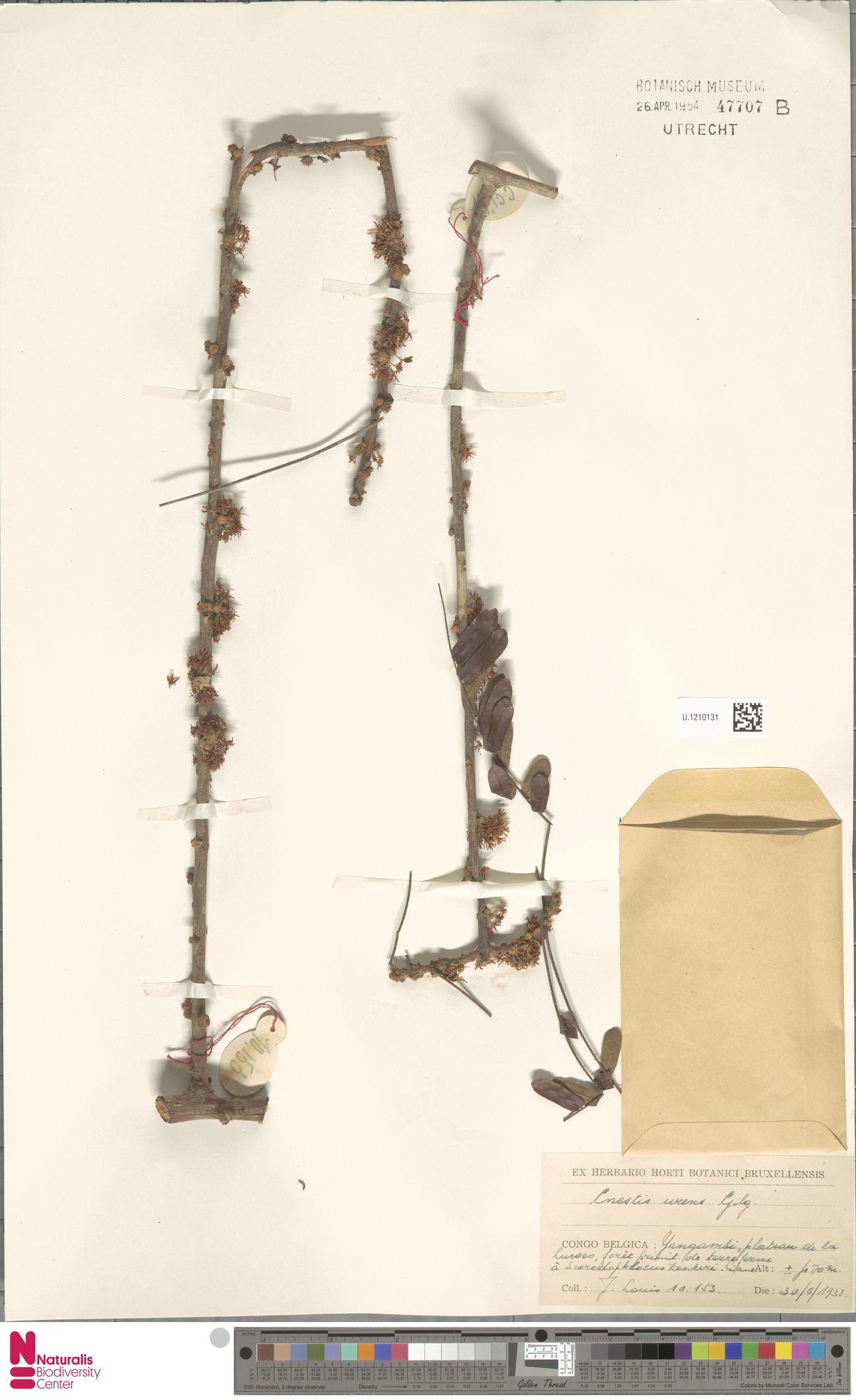 U.1210131 | Cnestis urens Gilg