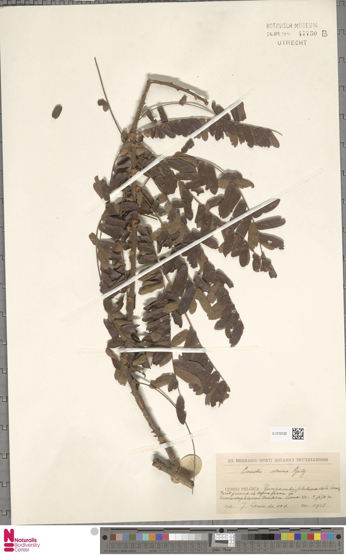 U.1210132 | Cnestis urens Gilg