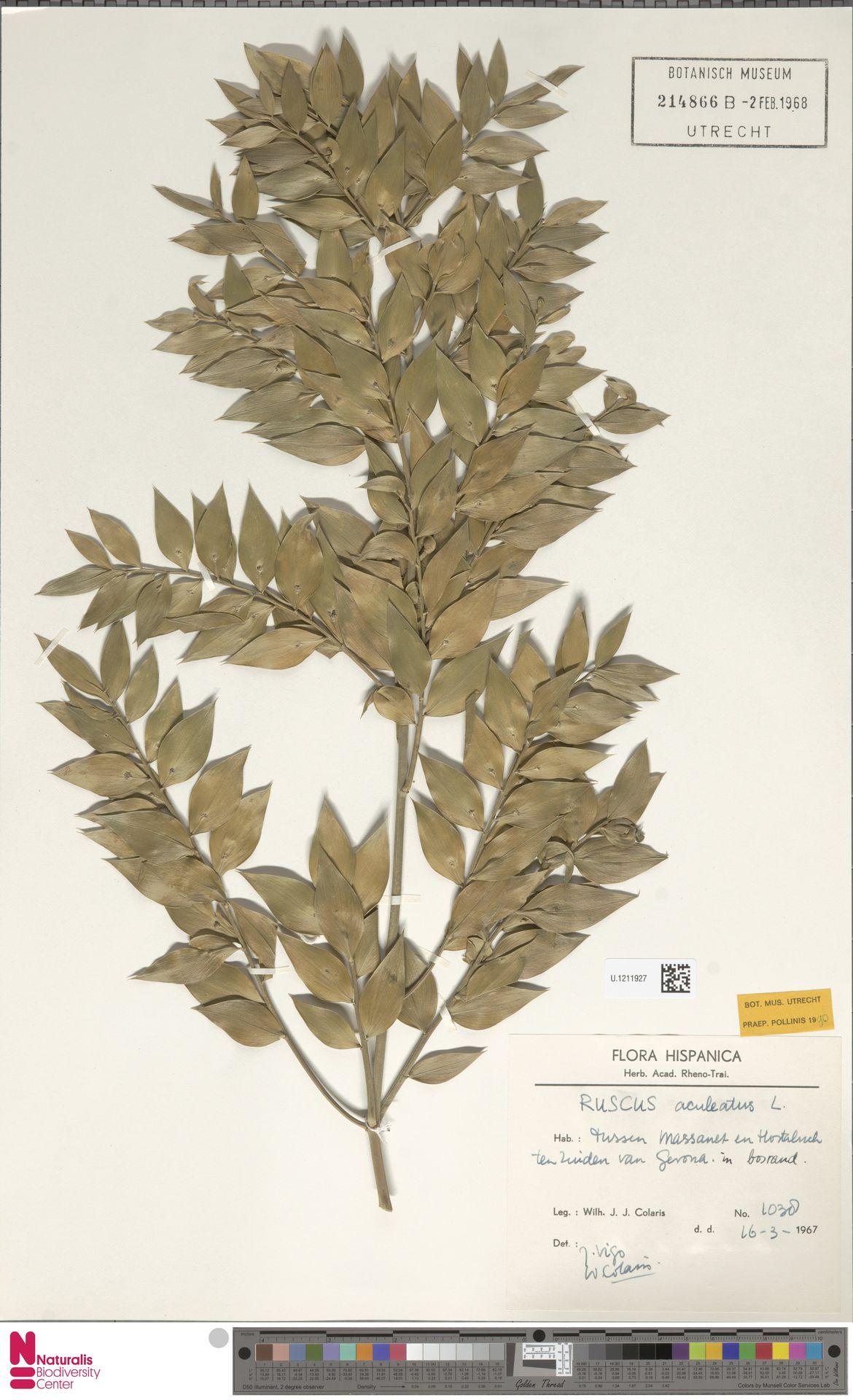 U.1211927 | Ruscus aculeatus L.