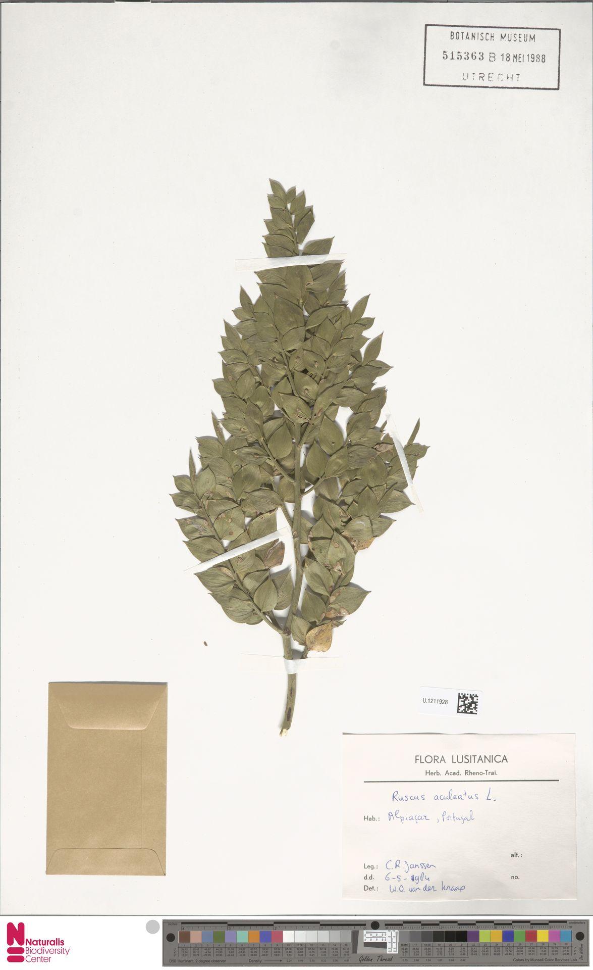 U.1211928 | Ruscus aculeatus L.