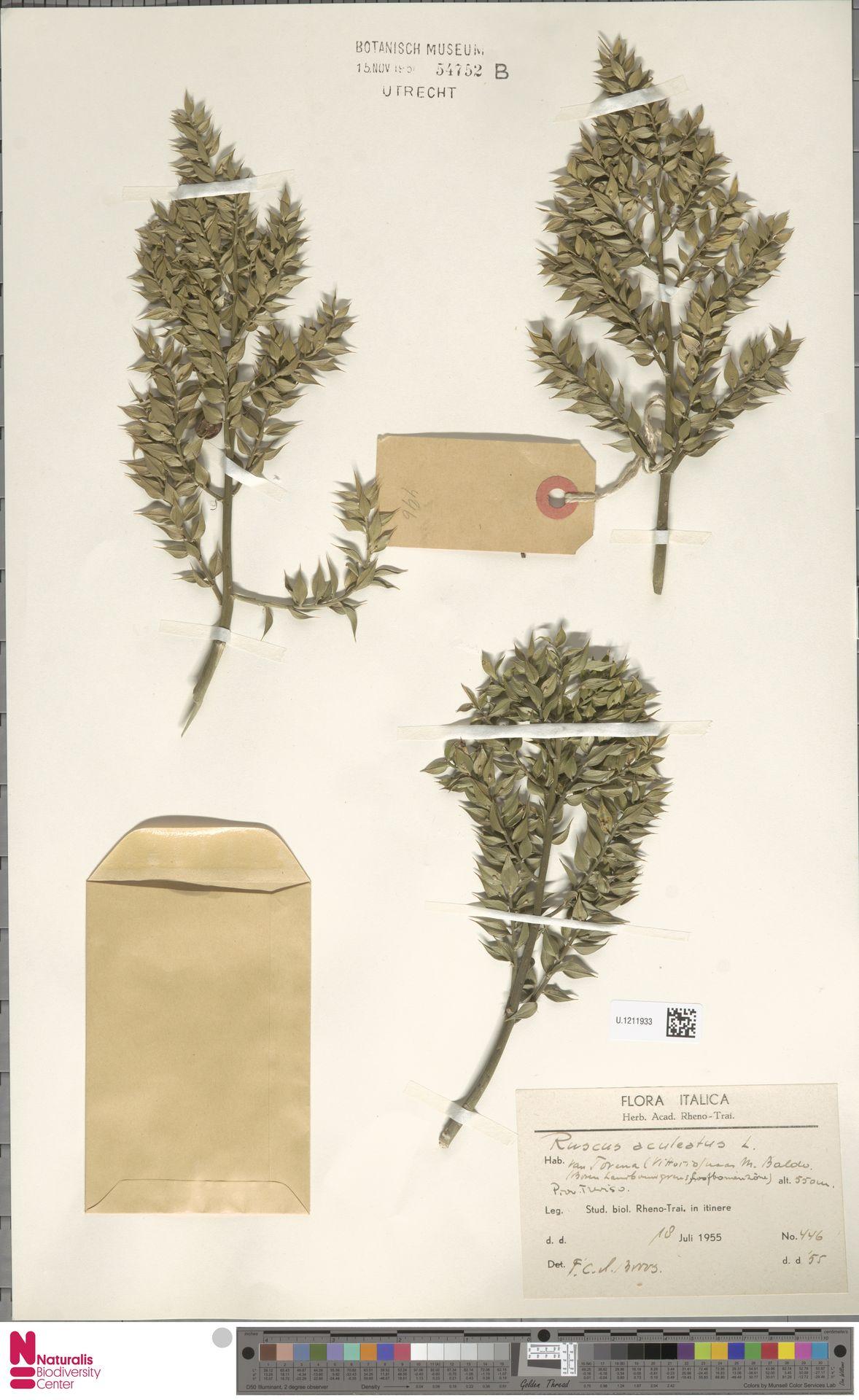 U.1211933 | Ruscus aculeatus L.