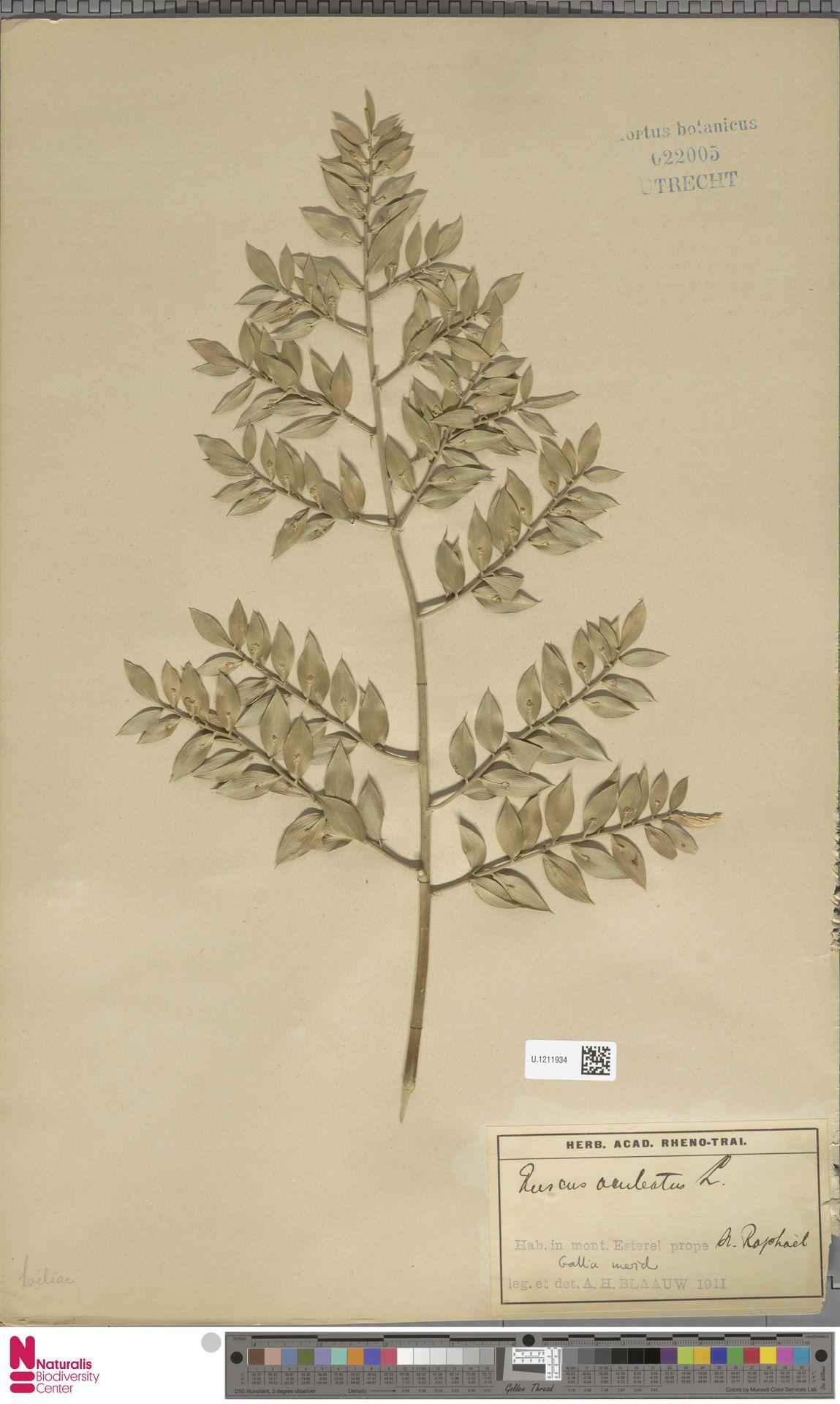 U.1211934 | Ruscus aculeatus L.