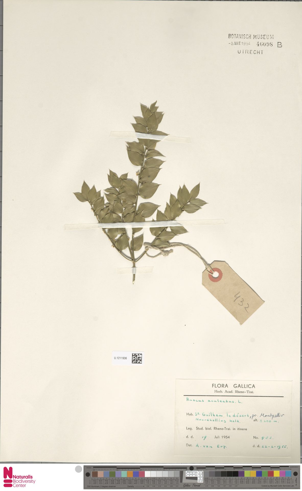 U.1211936 | Ruscus aculeatus L.
