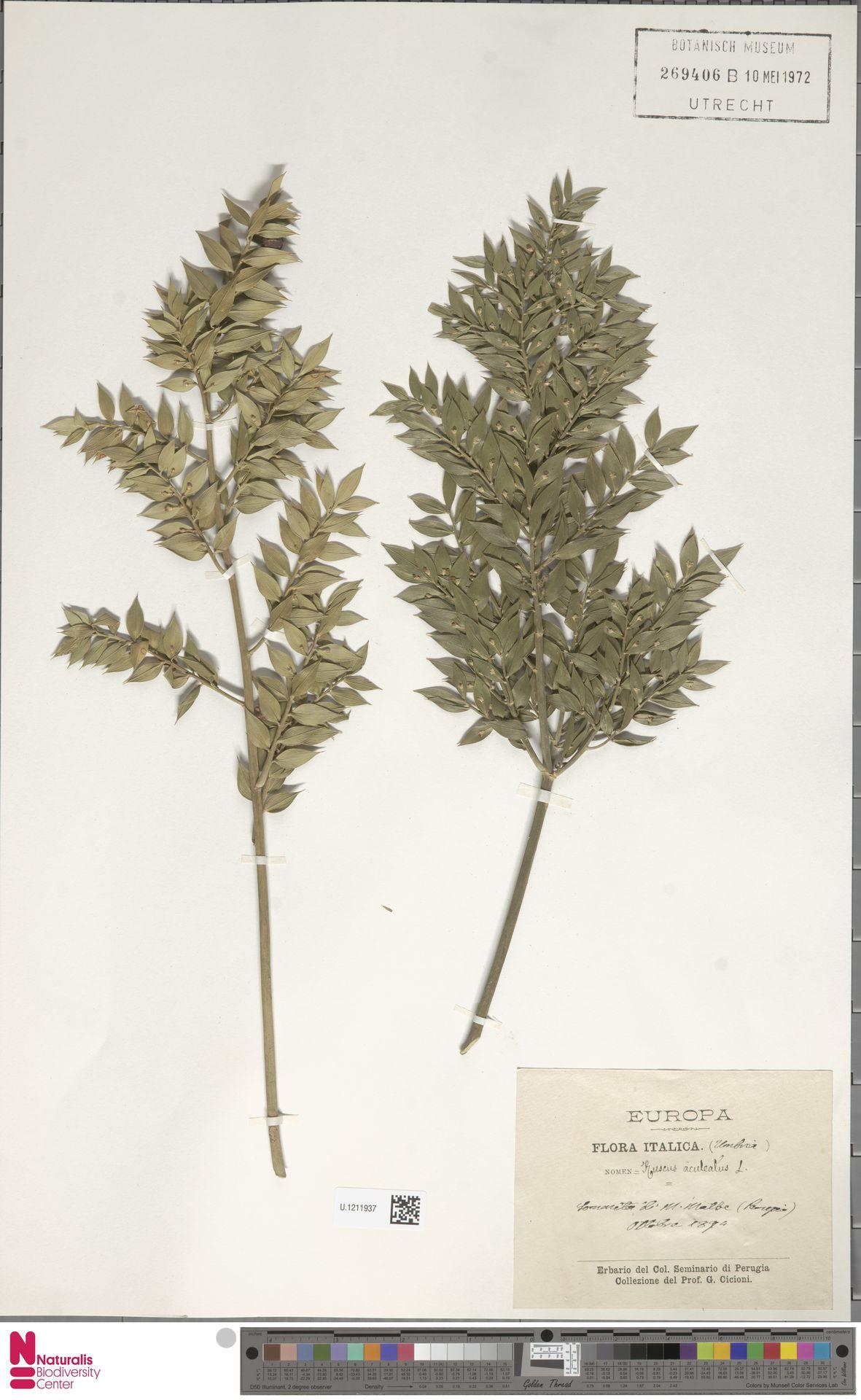 U.1211937 | Ruscus aculeatus L.