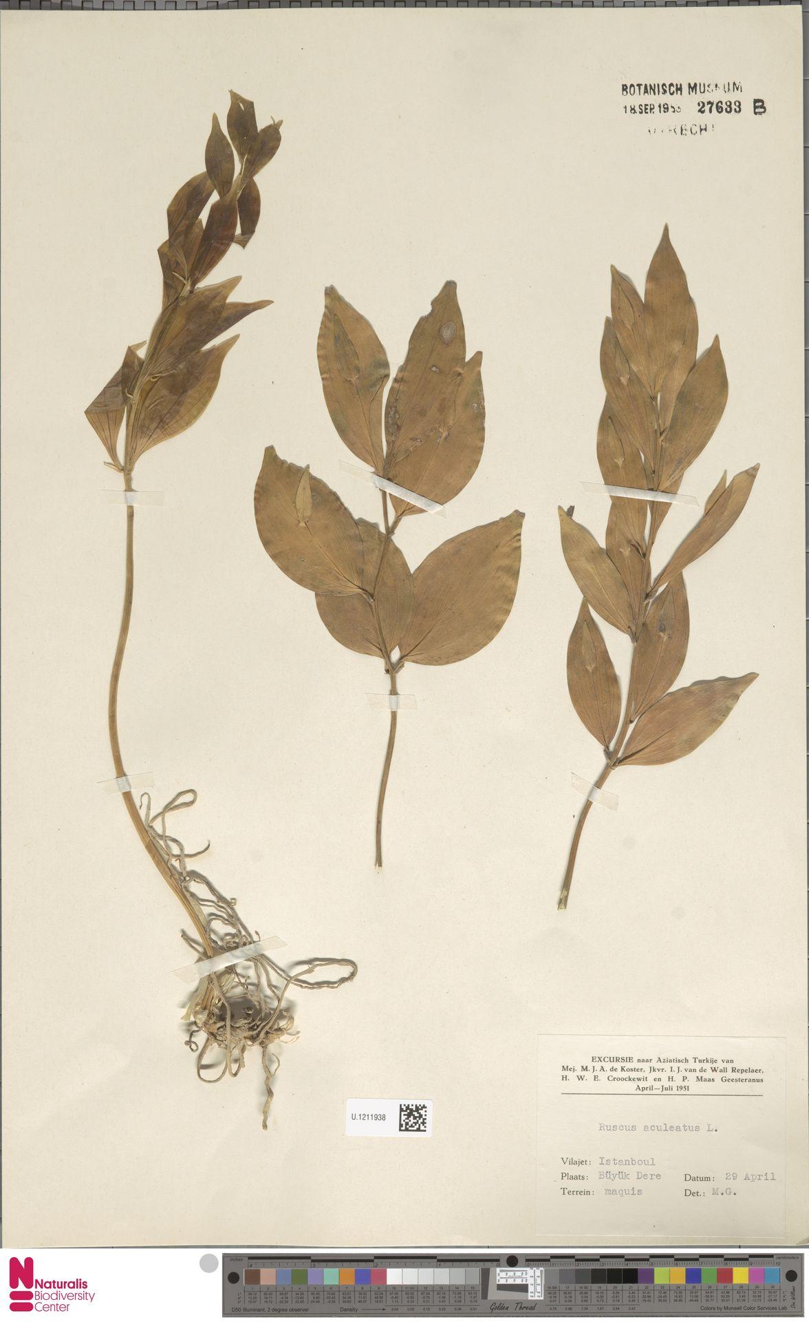 U.1211938 | Ruscus aculeatus L.