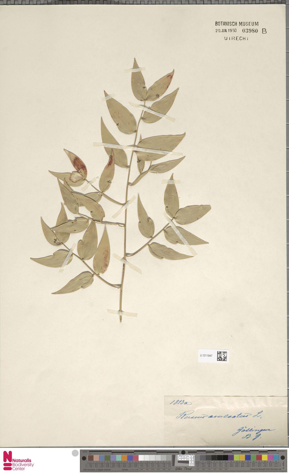 U.1211947 | Ruscus aculeatus L.