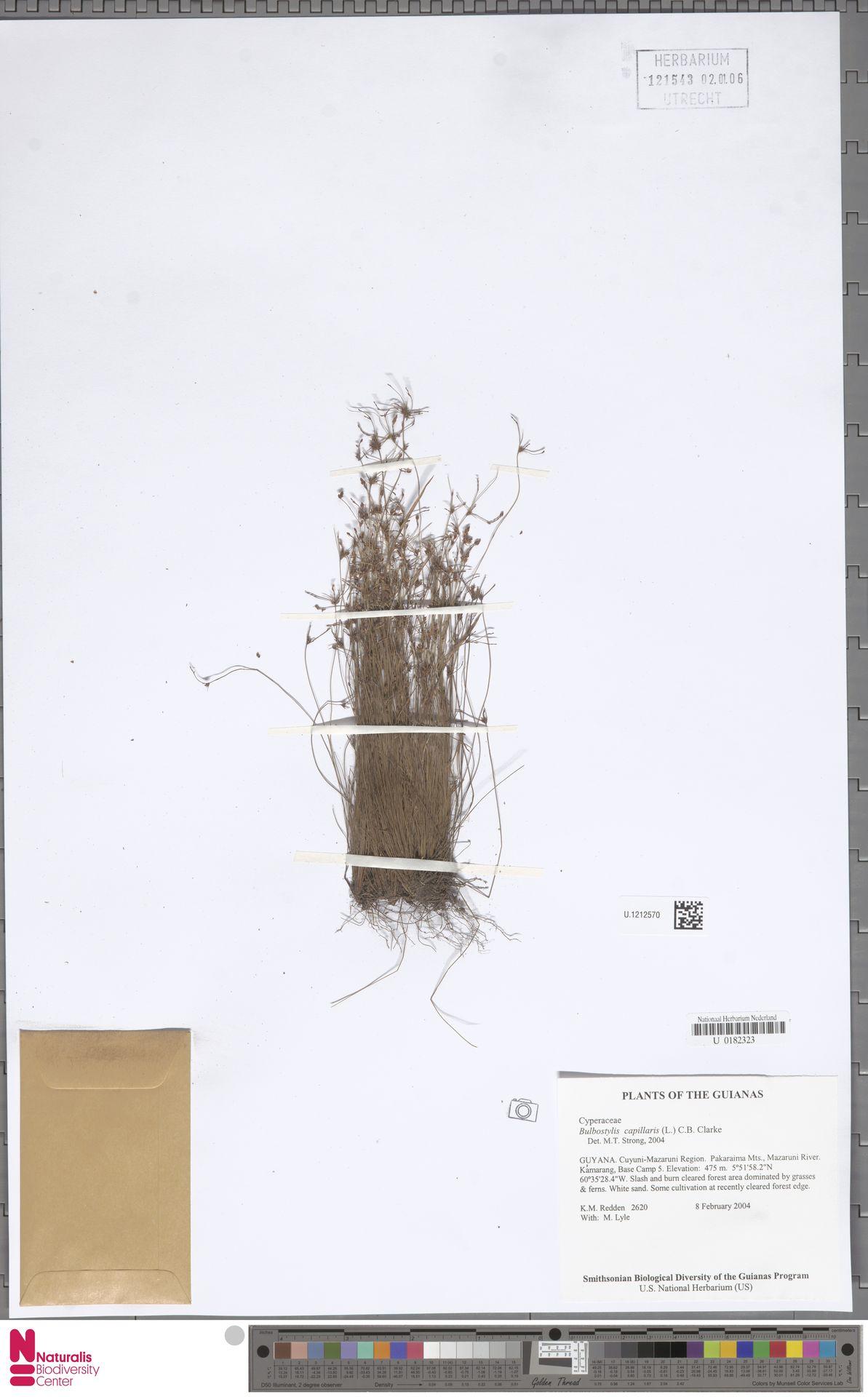 U.1212570 | Bulbostylis capillaris (L.) Kunth ex C.B.Clarke
