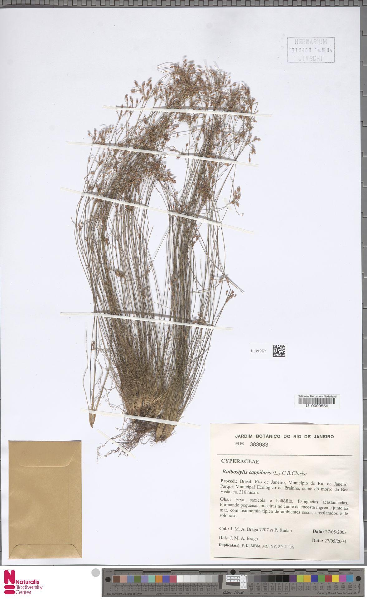 U.1212571 | Bulbostylis capillaris (L.) Kunth ex C.B.Clarke