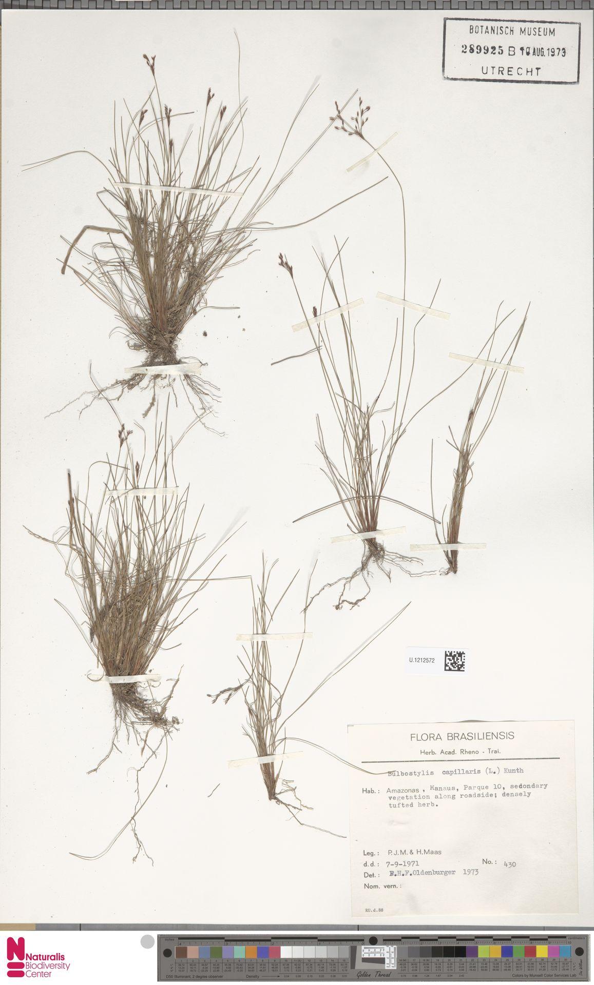 U.1212572 | Bulbostylis capillaris (L.) Kunth ex C.B.Clarke