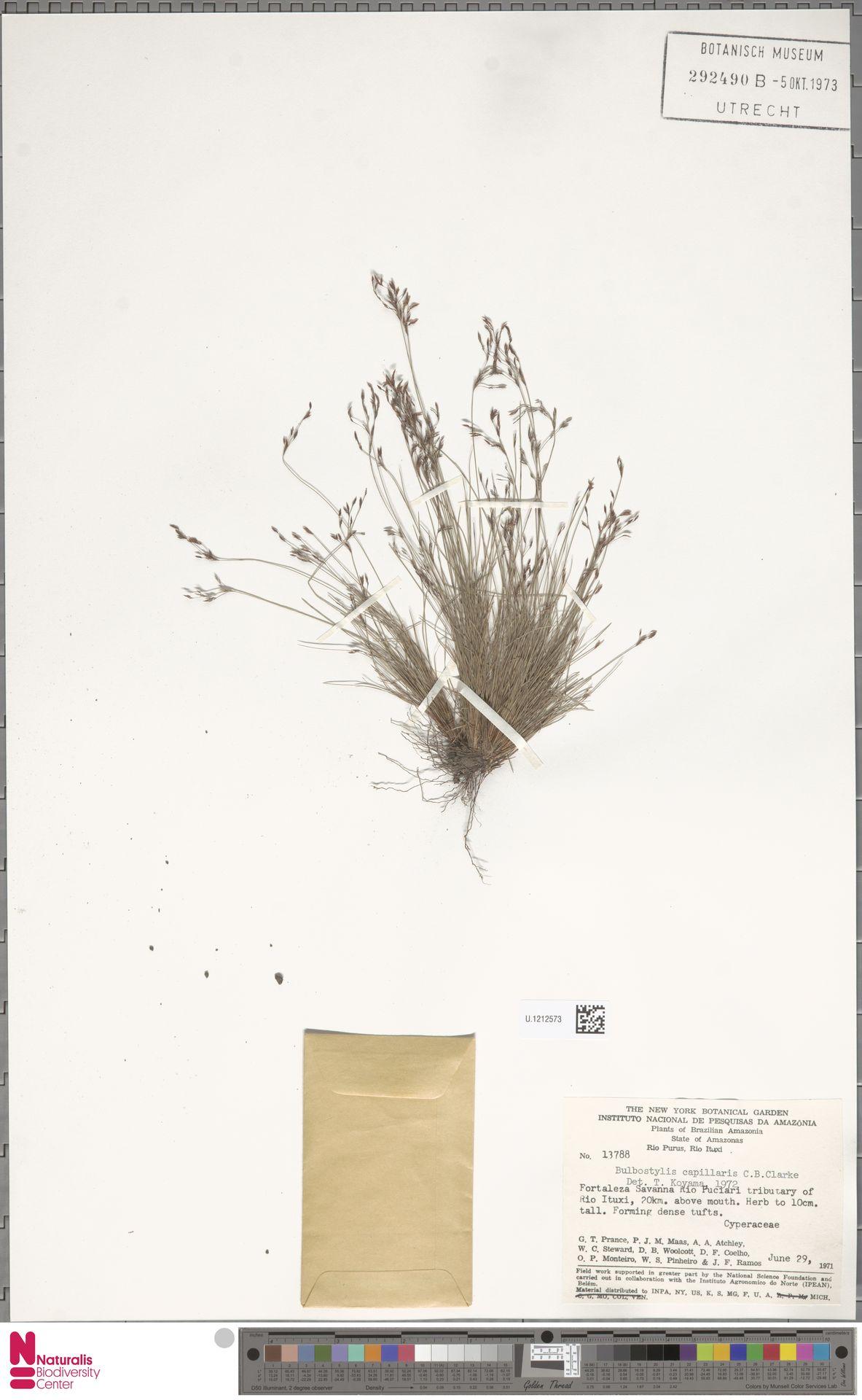 U.1212573   Bulbostylis capillaris (L.) Kunth ex C.B.Clarke