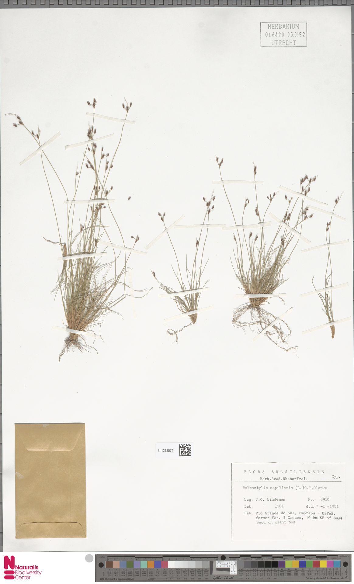 U.1212574 | Bulbostylis capillaris (L.) Kunth ex C.B.Clarke