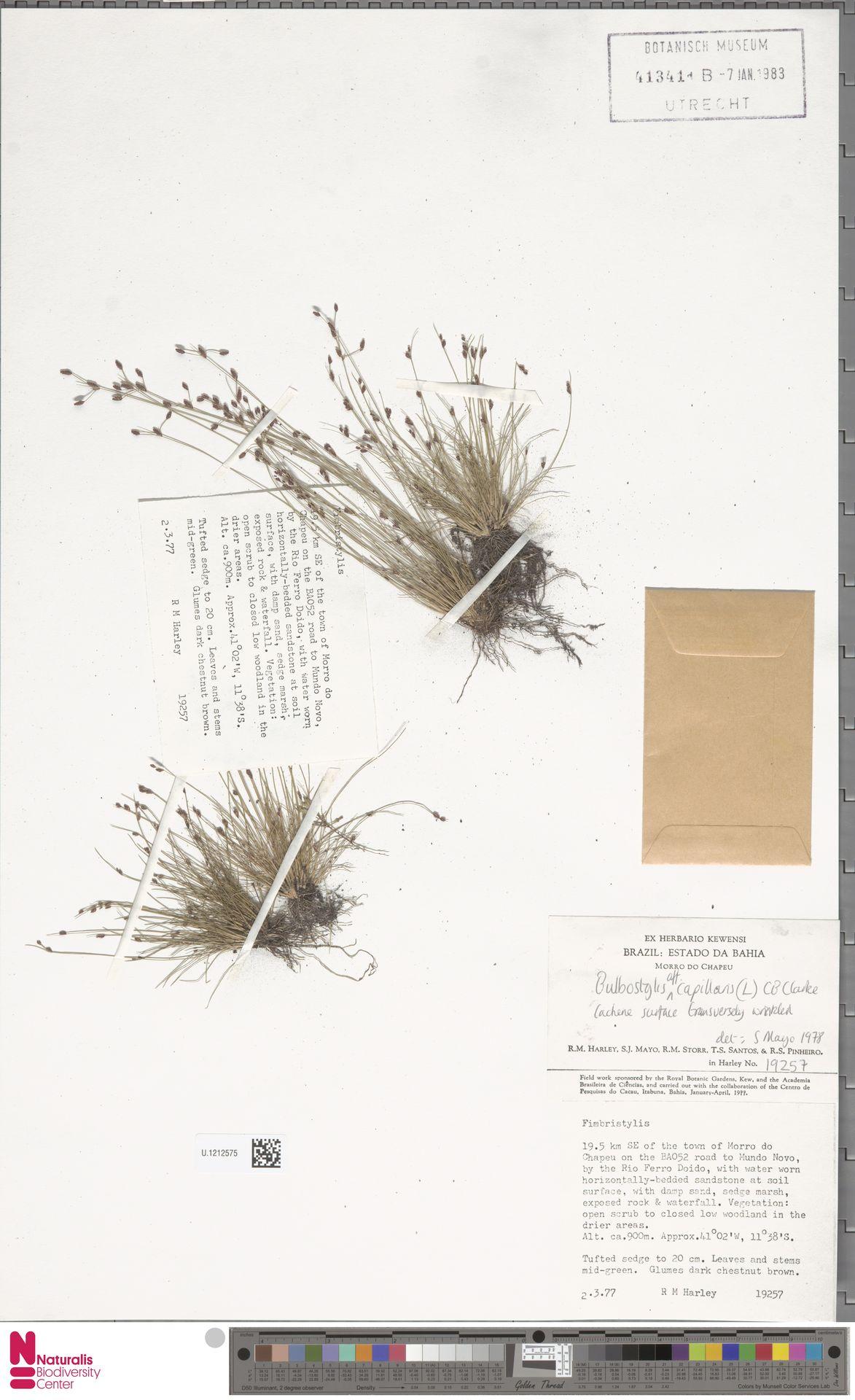 U.1212575 | Bulbostylis capillaris (L.) Kunth ex C.B.Clarke