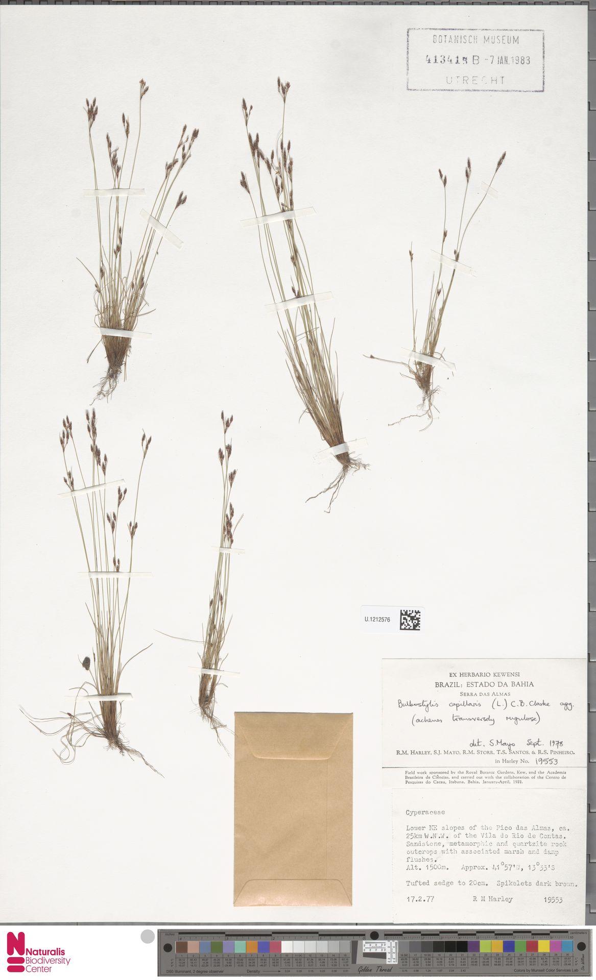 U.1212576 | Bulbostylis capillaris (L.) Kunth ex C.B.Clarke