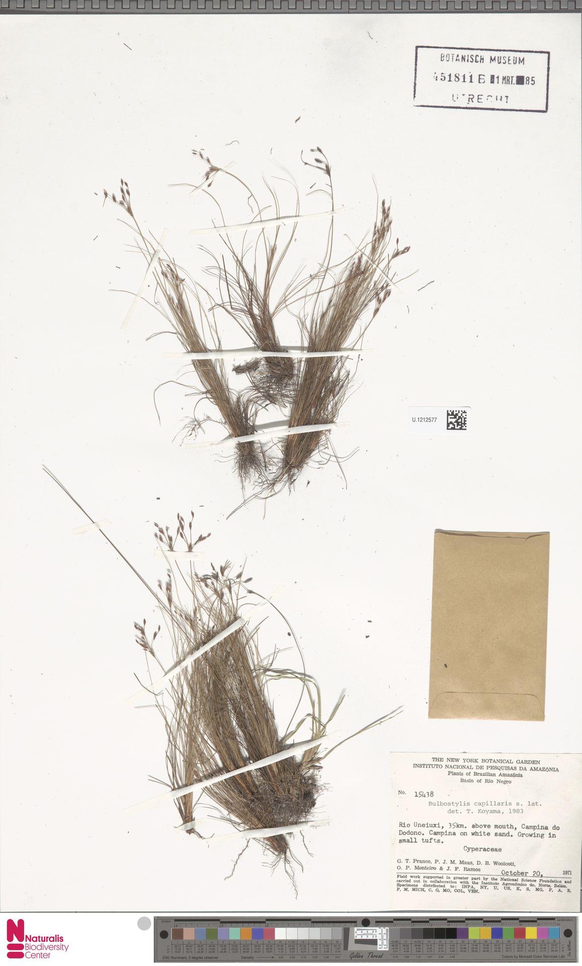 U.1212577   Bulbostylis capillaris (L.) Kunth ex C.B.Clarke