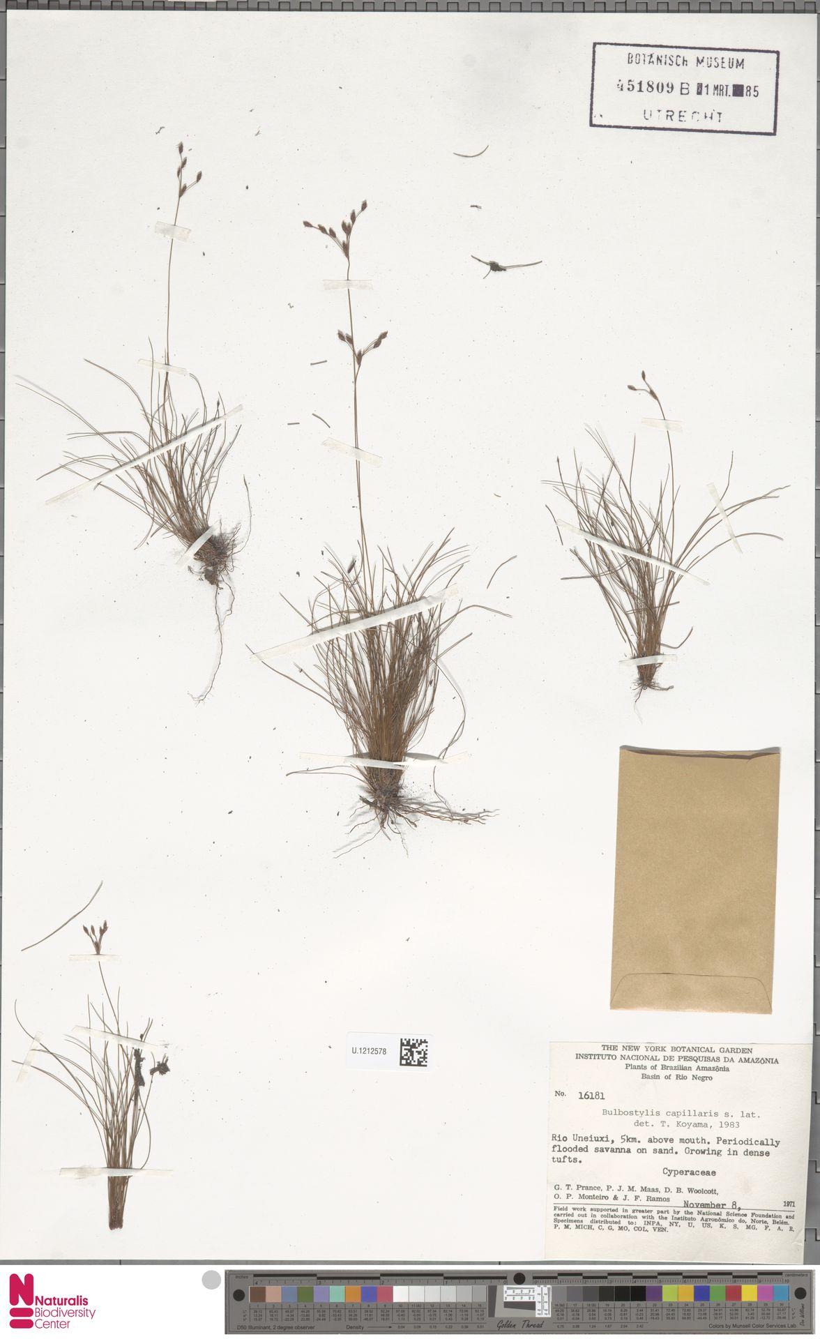 U.1212578 | Bulbostylis capillaris (L.) Kunth ex C.B.Clarke