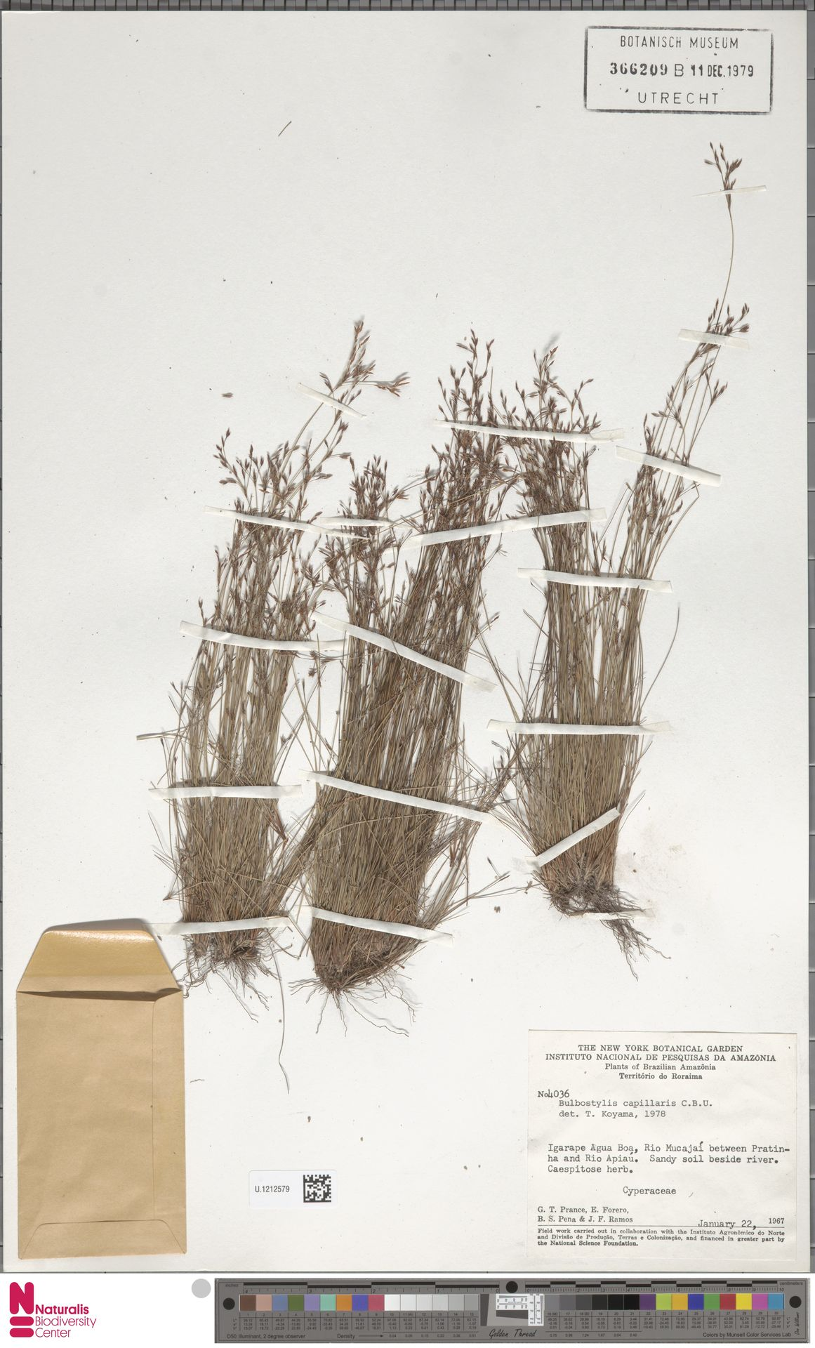 U.1212579 | Bulbostylis capillaris (L.) Kunth ex C.B.Clarke