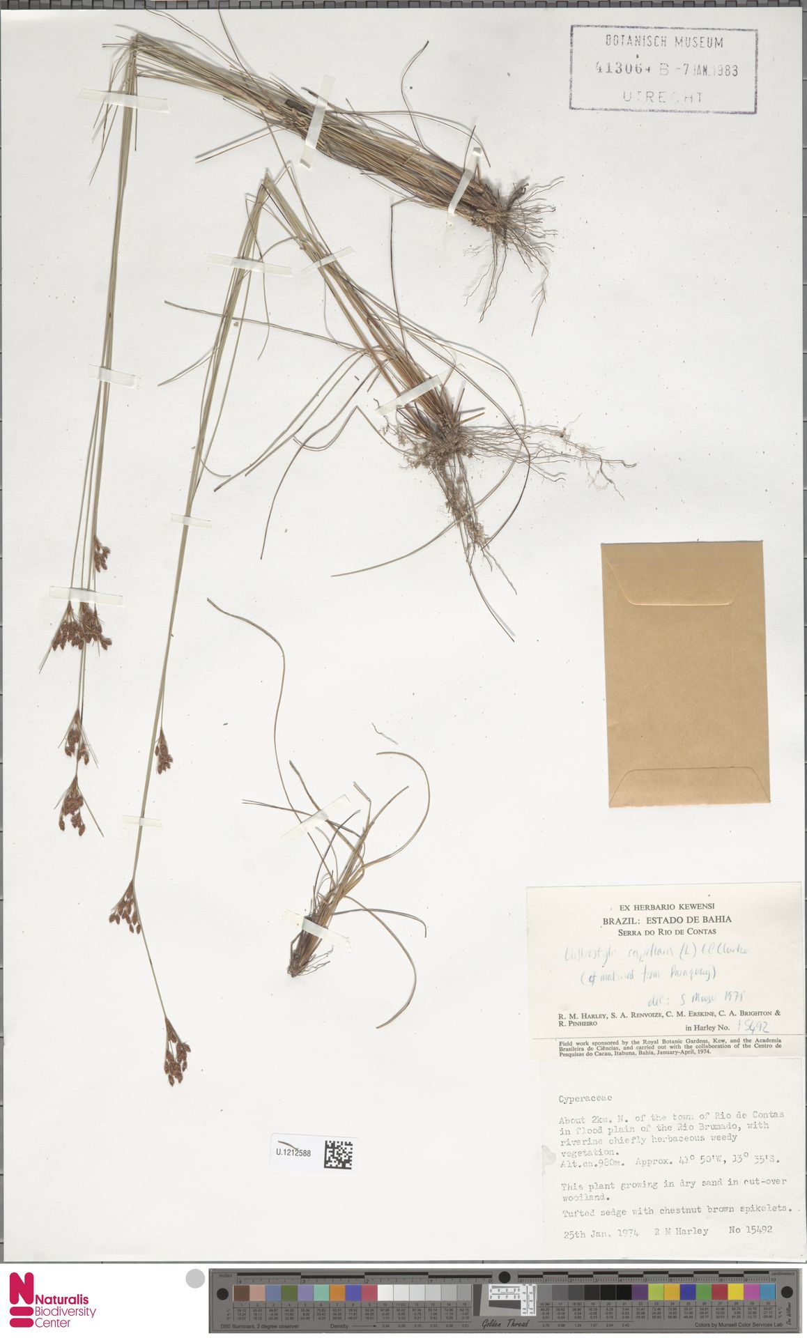 U.1212588 | Bulbostylis capillaris (L.) Kunth ex C.B.Clarke