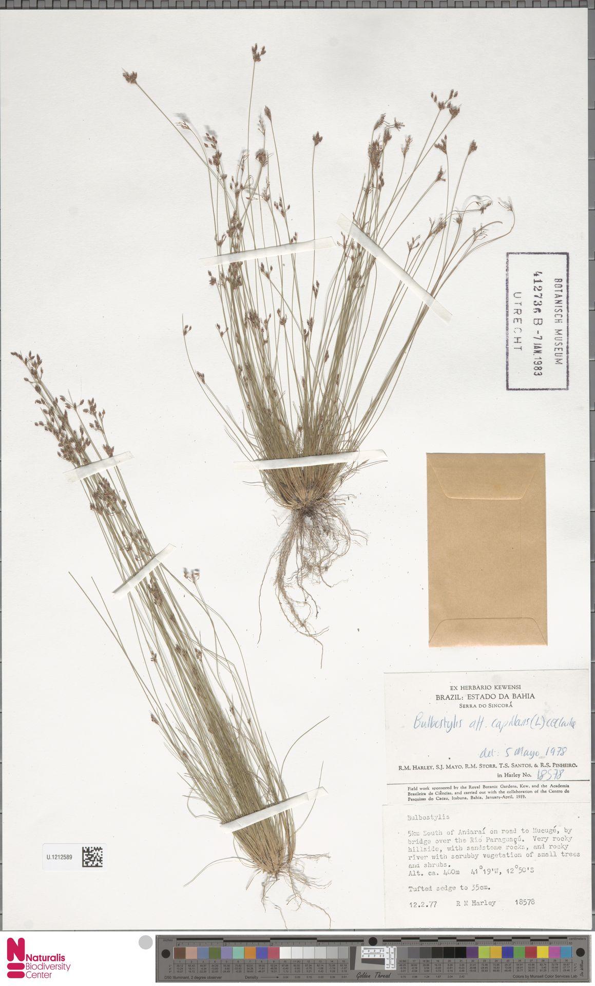 U.1212589 | Bulbostylis capillaris (L.) Kunth ex C.B.Clarke