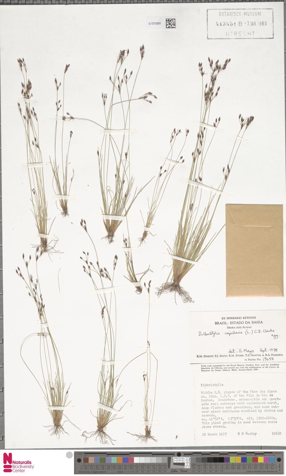 U.1212591 | Bulbostylis capillaris (L.) Kunth ex C.B.Clarke