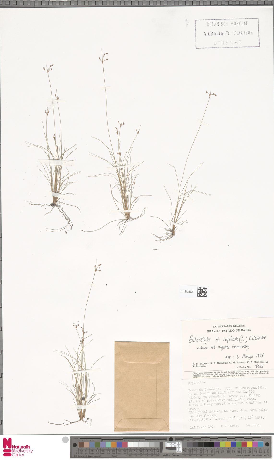 U.1212592 | Bulbostylis capillaris (L.) Kunth ex C.B.Clarke