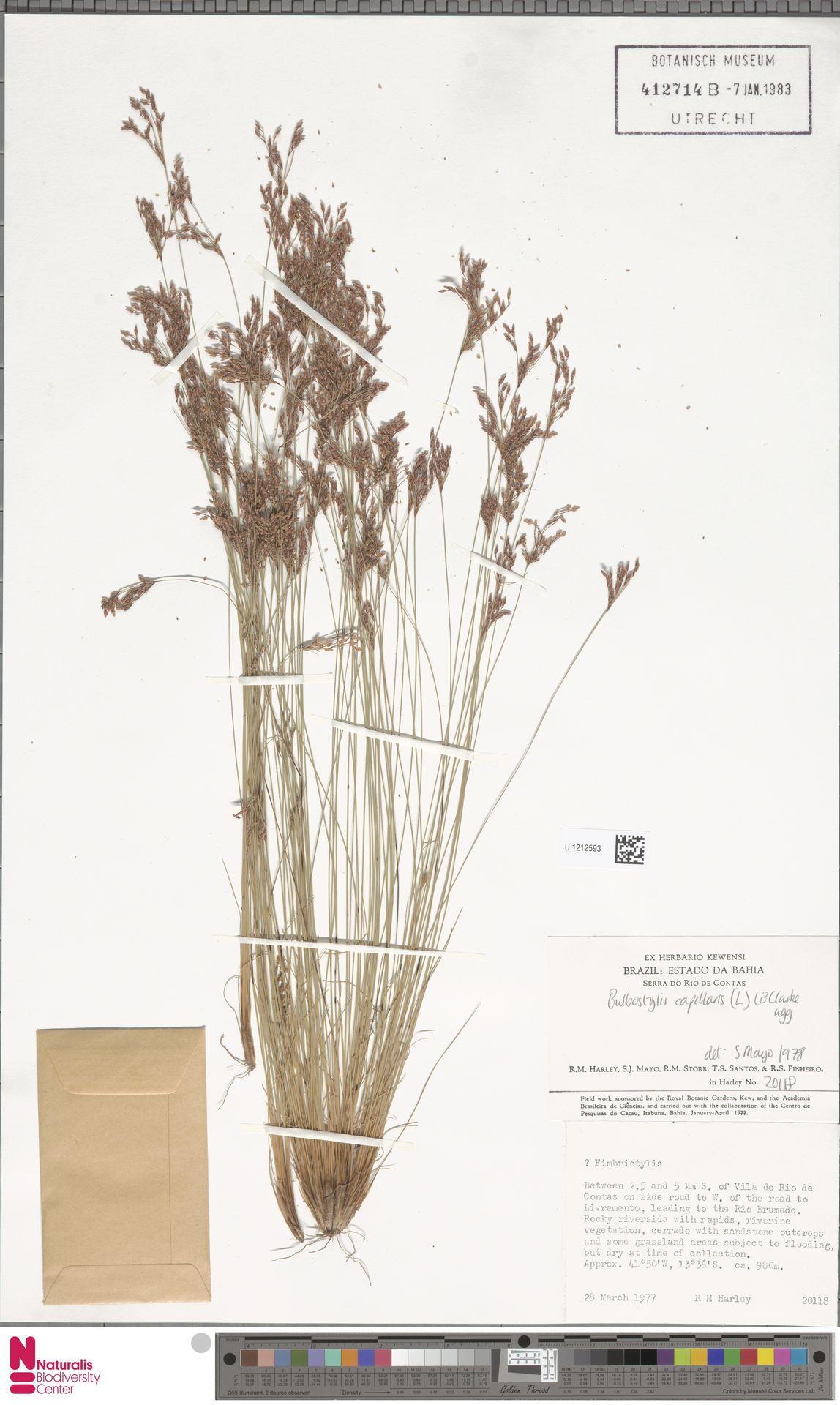 U.1212593 | Bulbostylis capillaris (L.) Kunth ex C.B.Clarke
