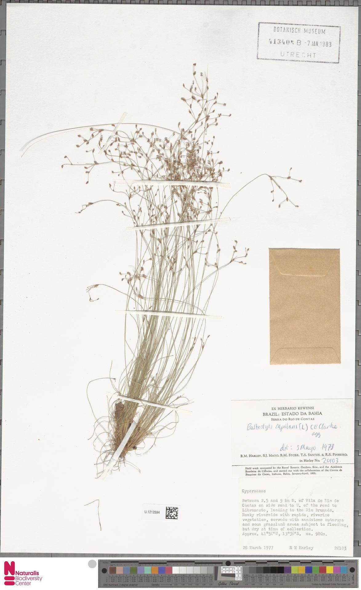 U.1212594 | Bulbostylis capillaris (L.) Kunth ex C.B.Clarke