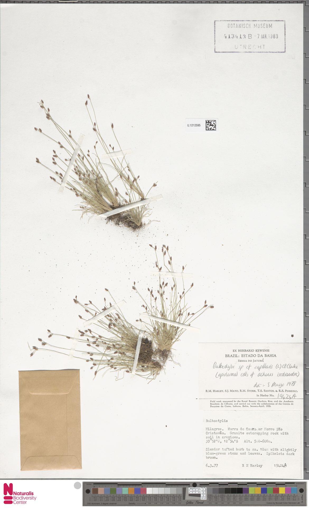 U.1212595 | Bulbostylis capillaris (L.) Kunth ex C.B.Clarke