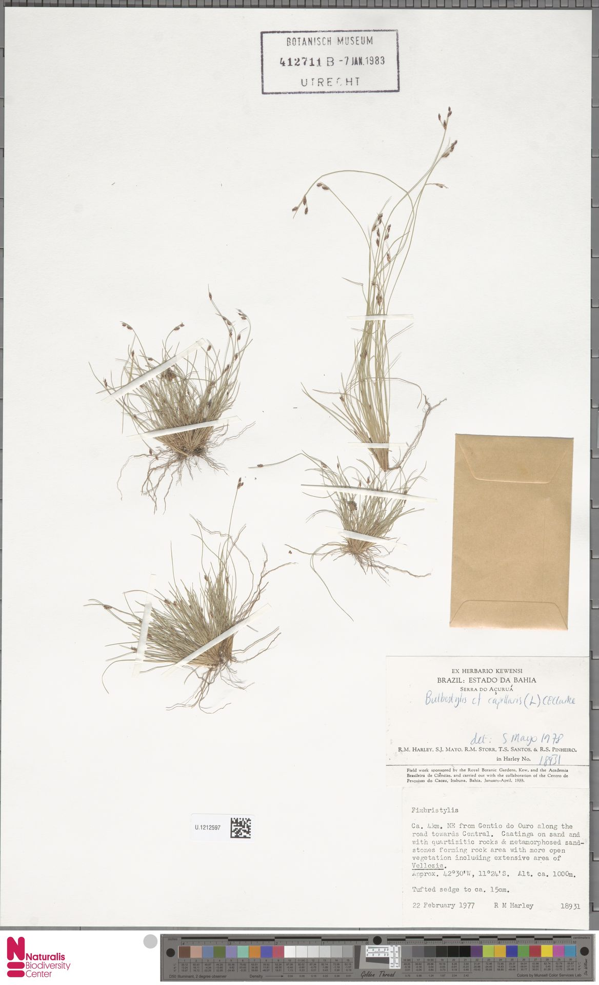 U.1212597 | Bulbostylis capillaris (L.) Kunth ex C.B.Clarke