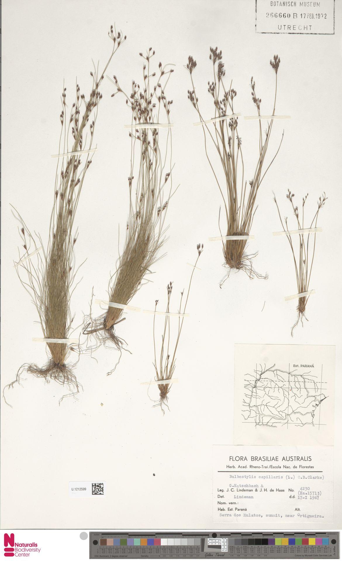 U.1212599 | Bulbostylis capillaris (L.) Kunth ex C.B.Clarke