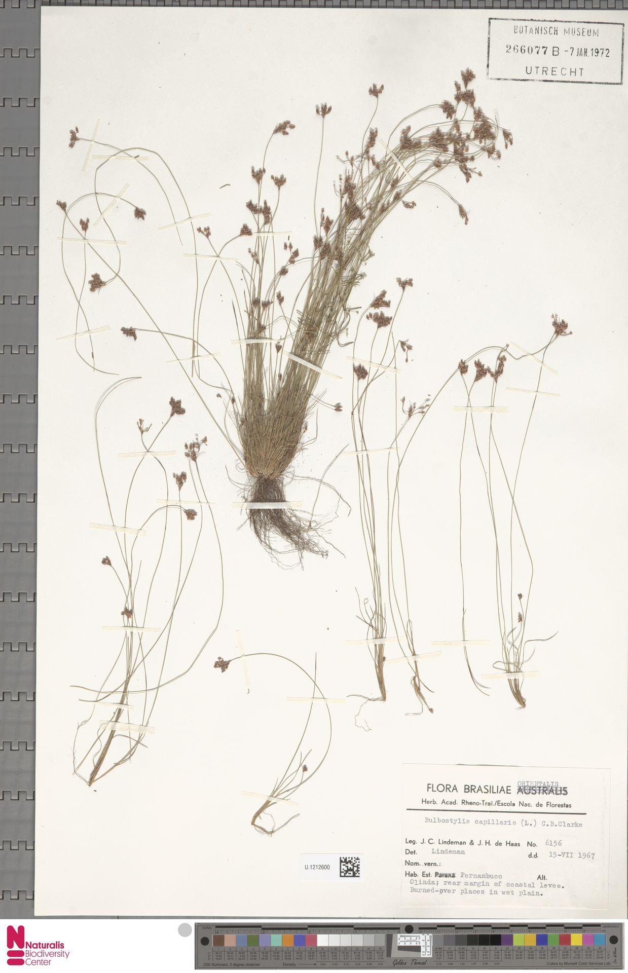U.1212600 | Bulbostylis capillaris (L.) Kunth ex C.B.Clarke