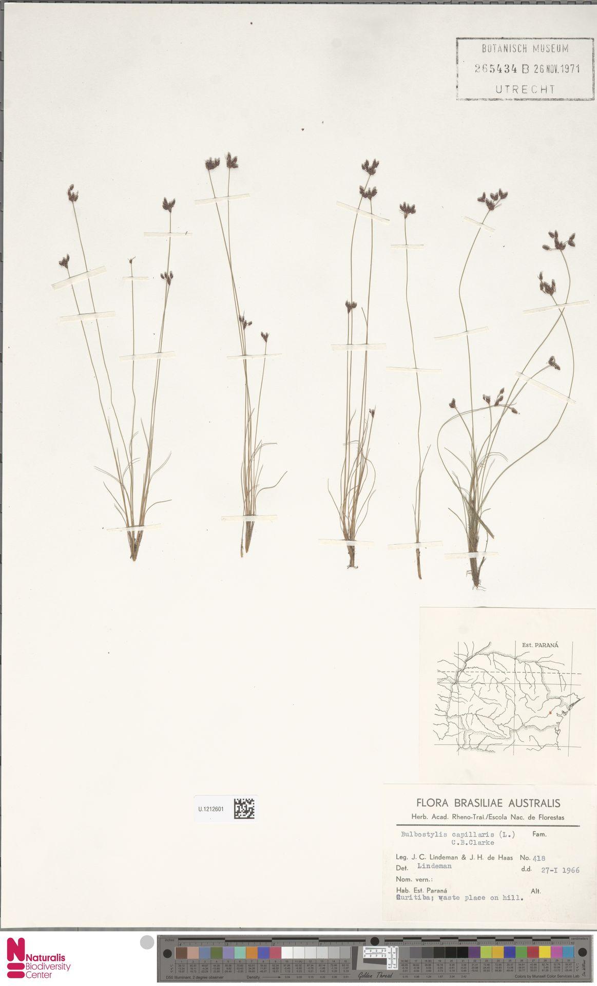 U.1212601 | Bulbostylis capillaris (L.) Kunth ex C.B.Clarke