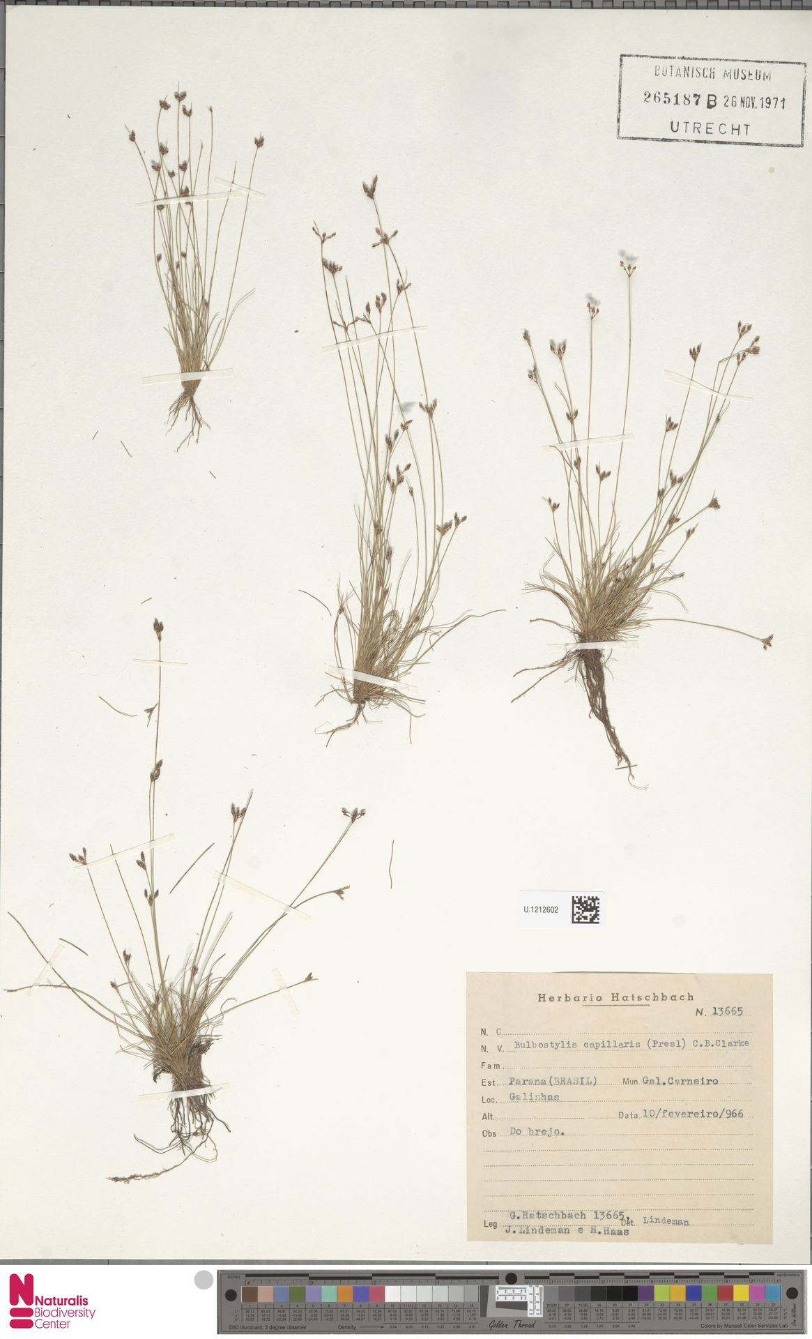 U.1212602   Bulbostylis capillaris (L.) Kunth ex C.B.Clarke