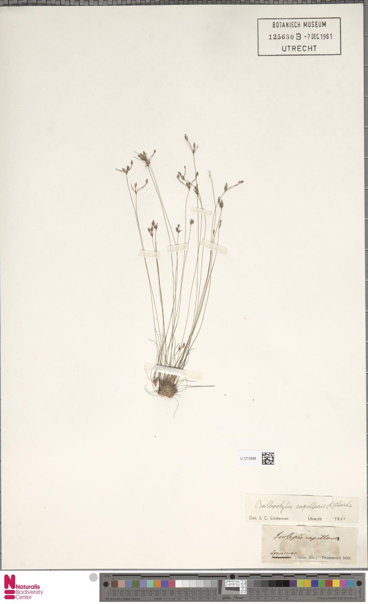 U.1212649 | Bulbostylis capillaris (L.) Kunth ex C.B.Clarke