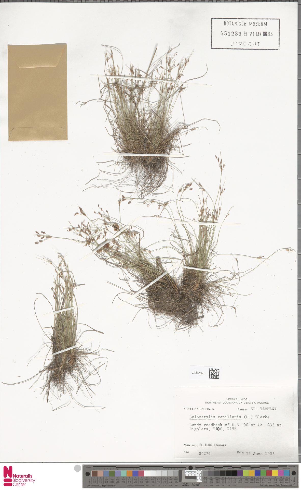 U.1212650 | Bulbostylis capillaris (L.) Kunth ex C.B.Clarke