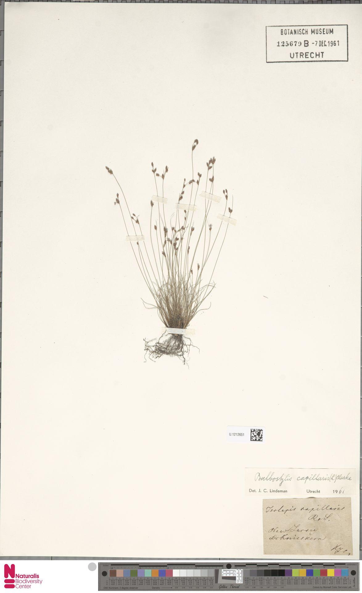 U.1212651 | Bulbostylis capillaris (L.) Kunth ex C.B.Clarke