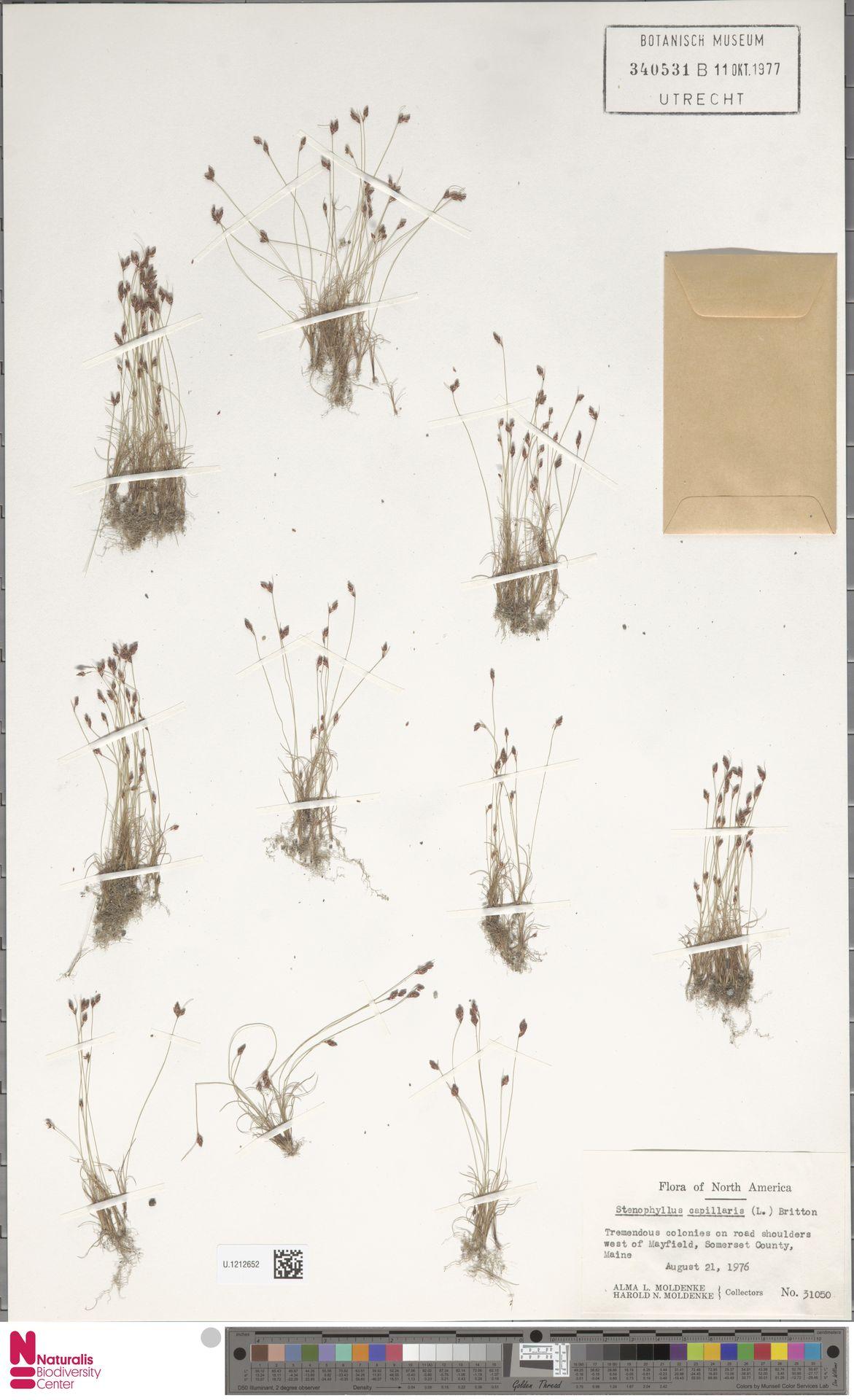 U.1212652 | Bulbostylis capillaris (L.) Kunth ex C.B.Clarke