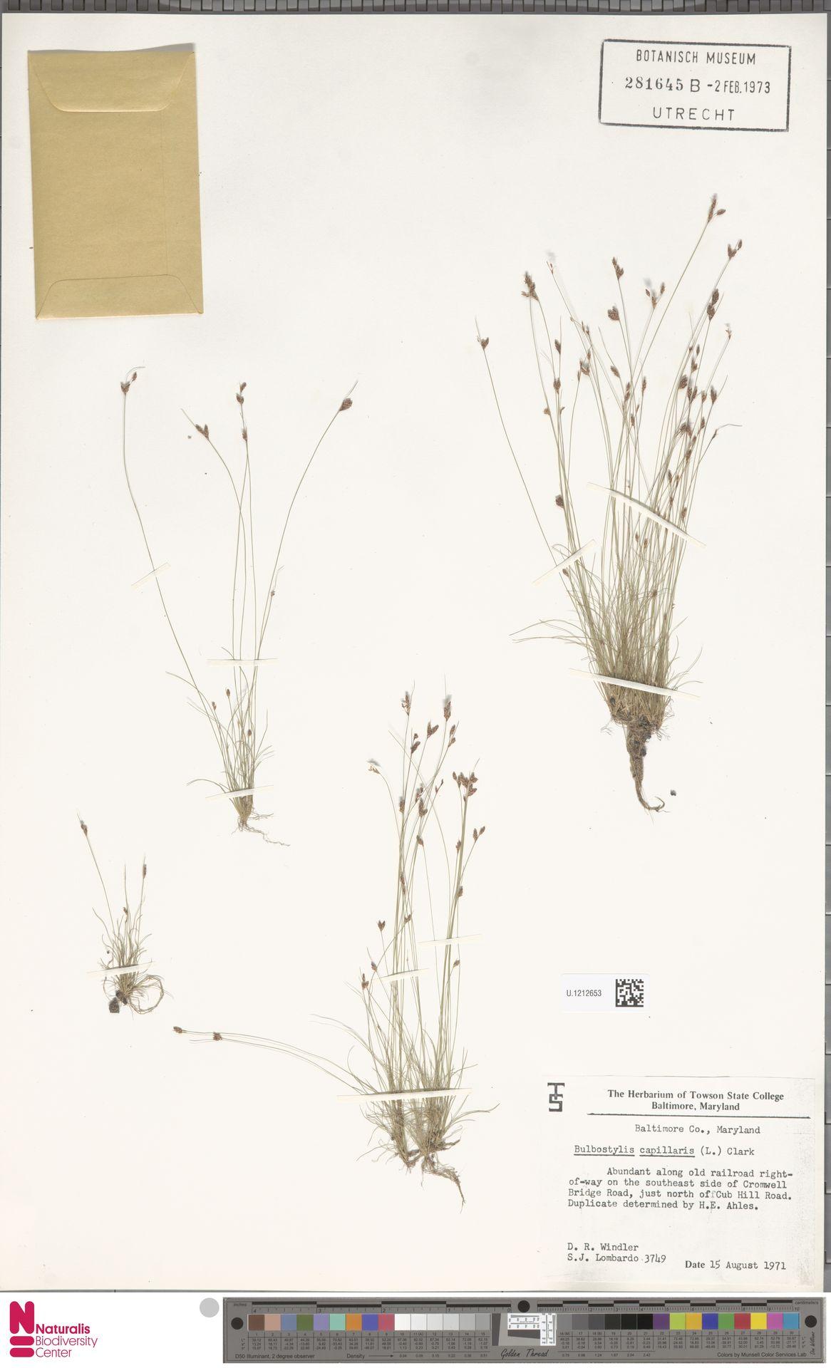 U.1212653 | Bulbostylis capillaris (L.) Kunth ex C.B.Clarke