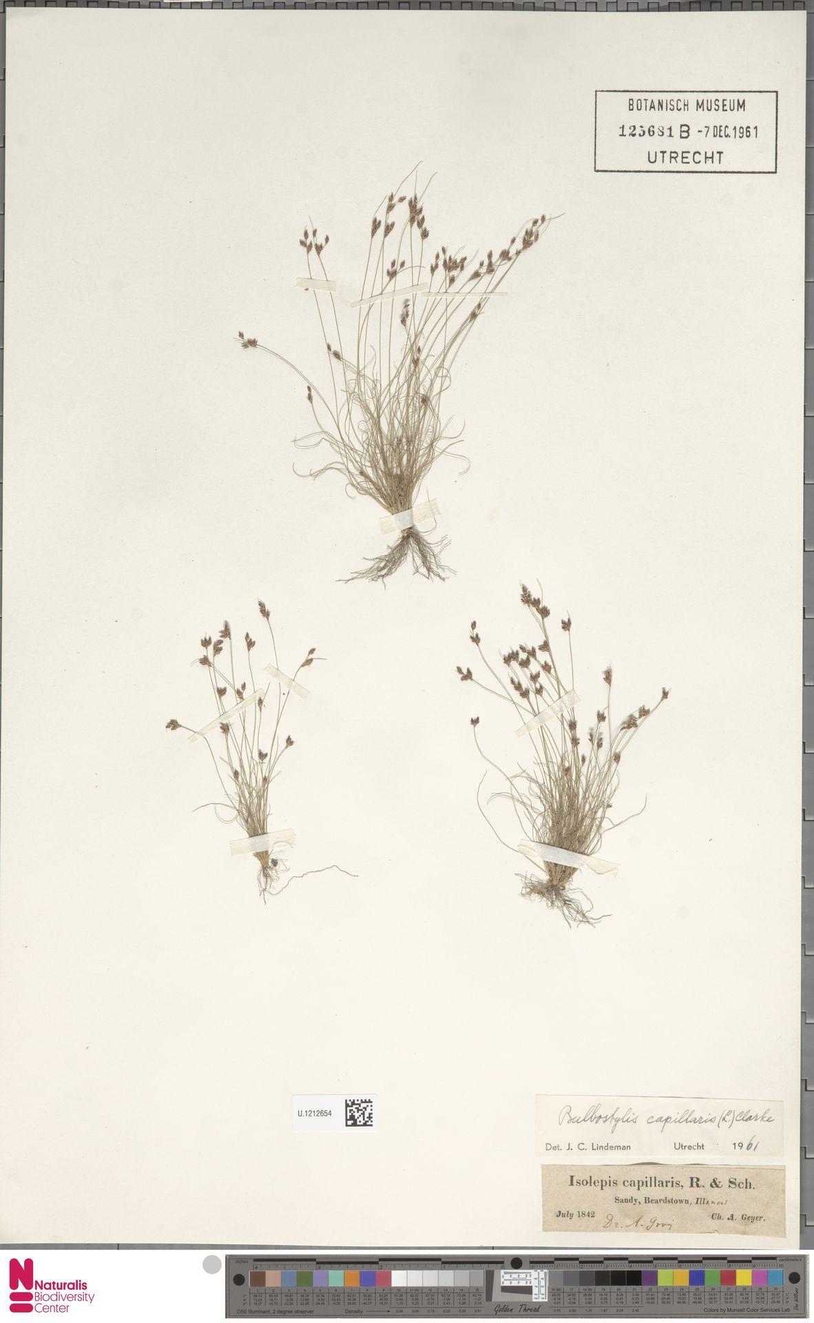 U.1212654 | Bulbostylis capillaris (L.) Kunth ex C.B.Clarke