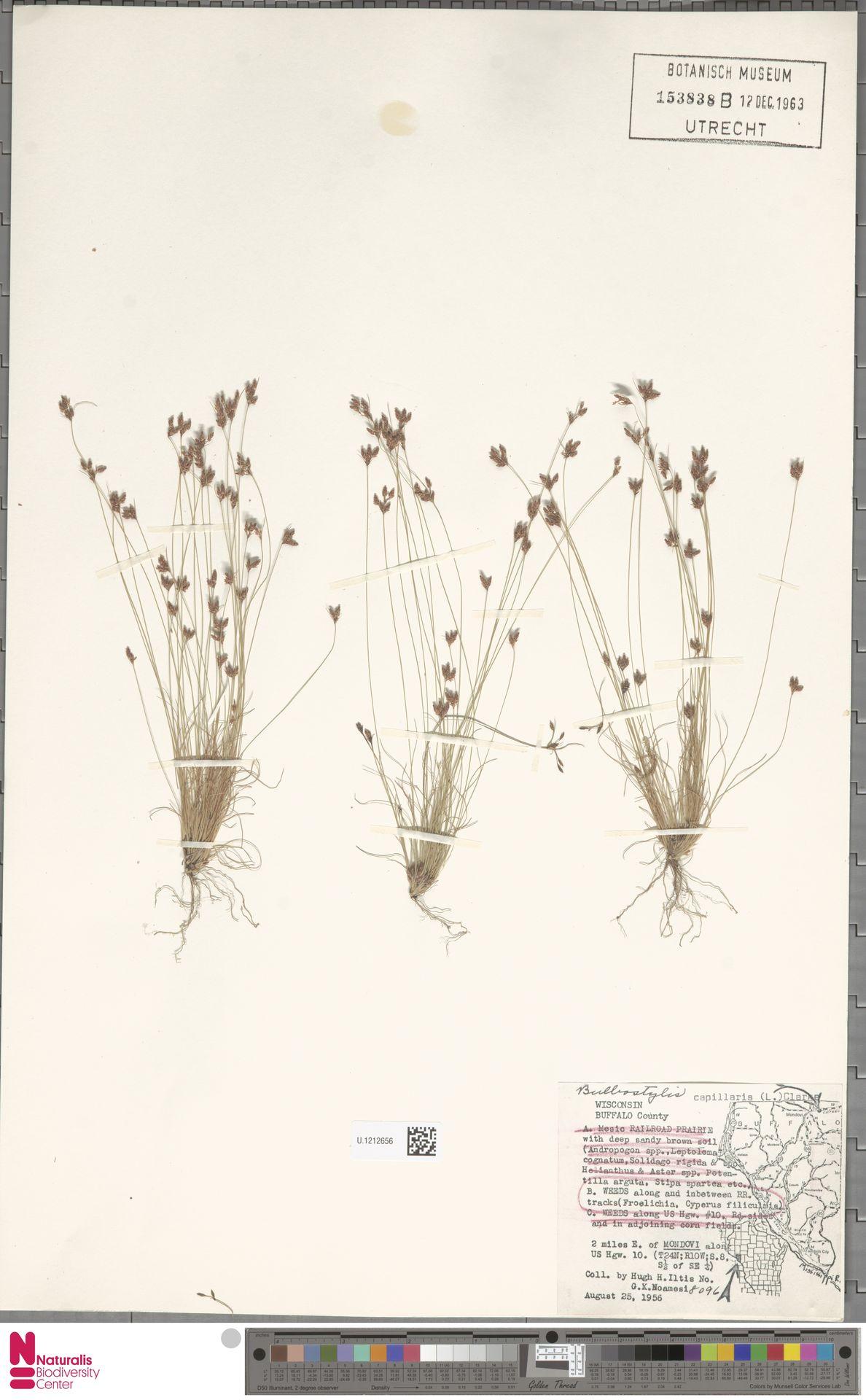 U.1212656 | Bulbostylis capillaris (L.) Kunth ex C.B.Clarke
