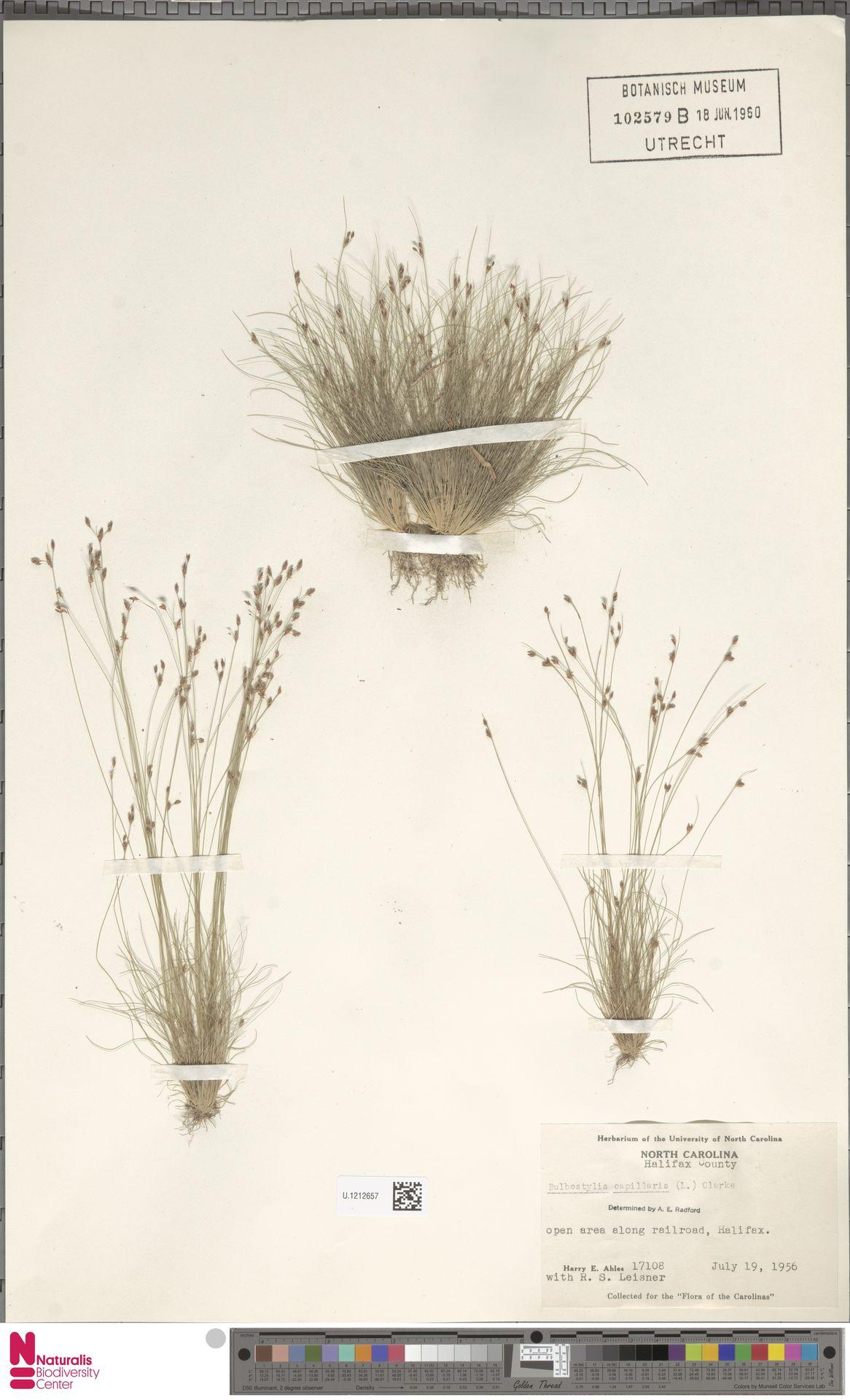 U.1212657 | Bulbostylis capillaris (L.) Kunth ex C.B.Clarke
