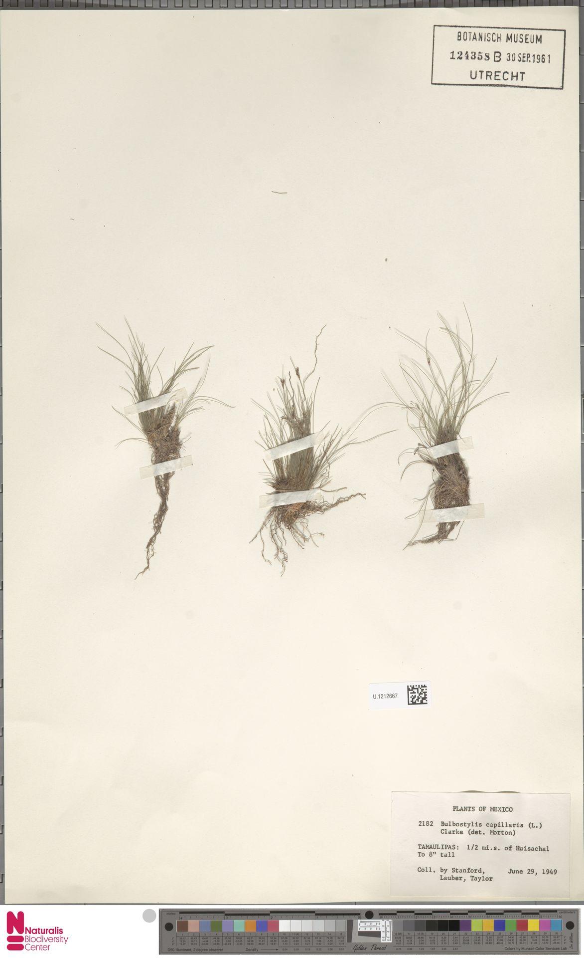 U.1212667 | Bulbostylis capillaris (L.) Kunth ex C.B.Clarke