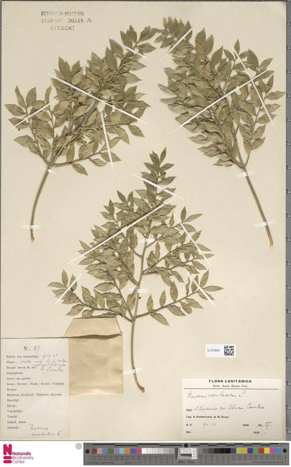 U.1213034 | Ruscus aculeatus L.