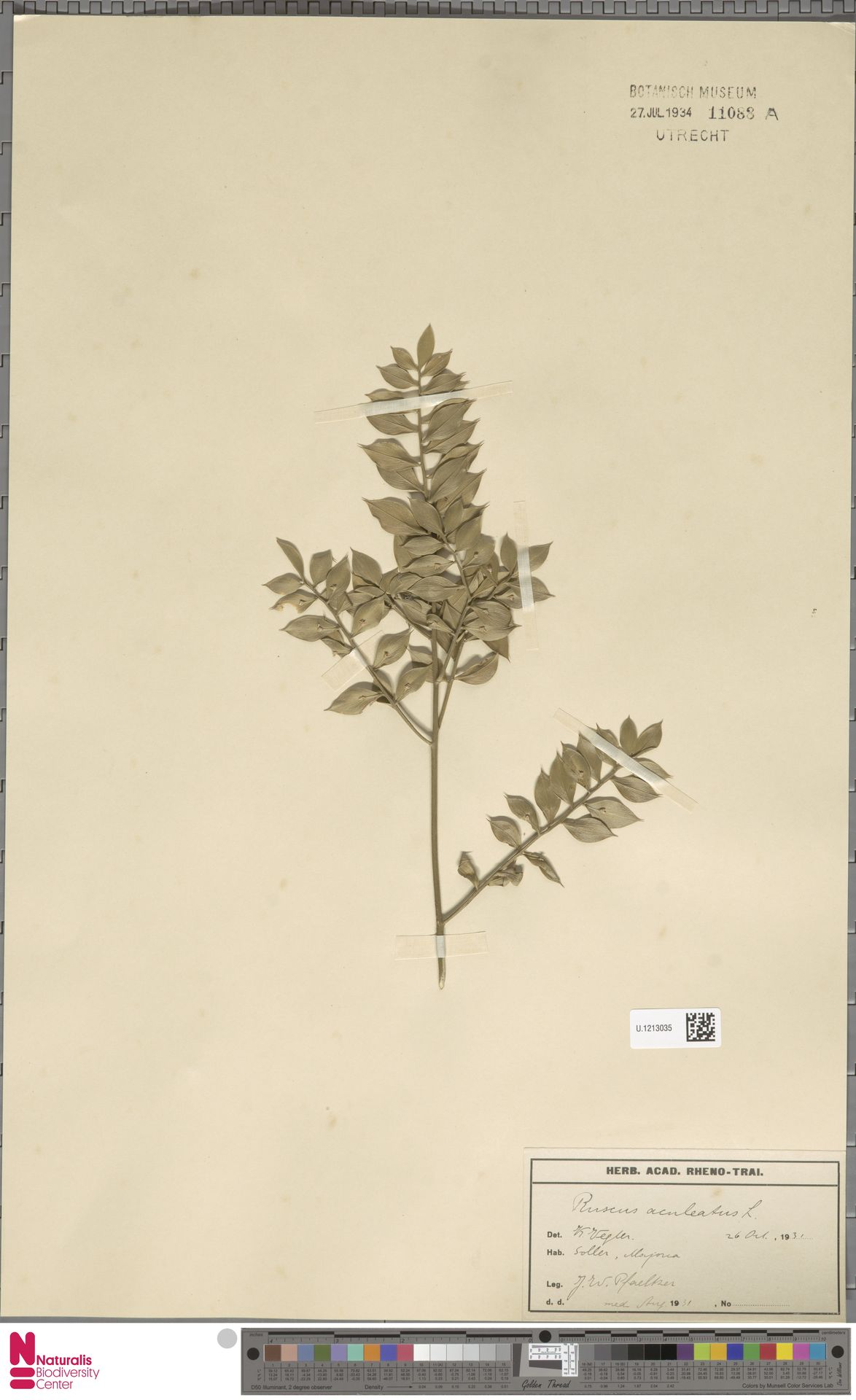 U.1213035 | Ruscus aculeatus L.