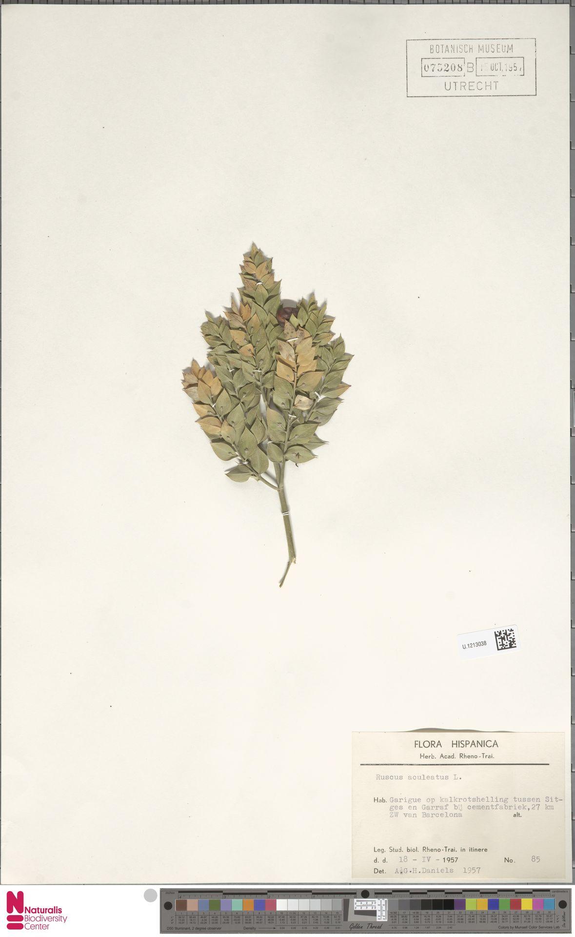 U.1213038 | Ruscus aculeatus L.